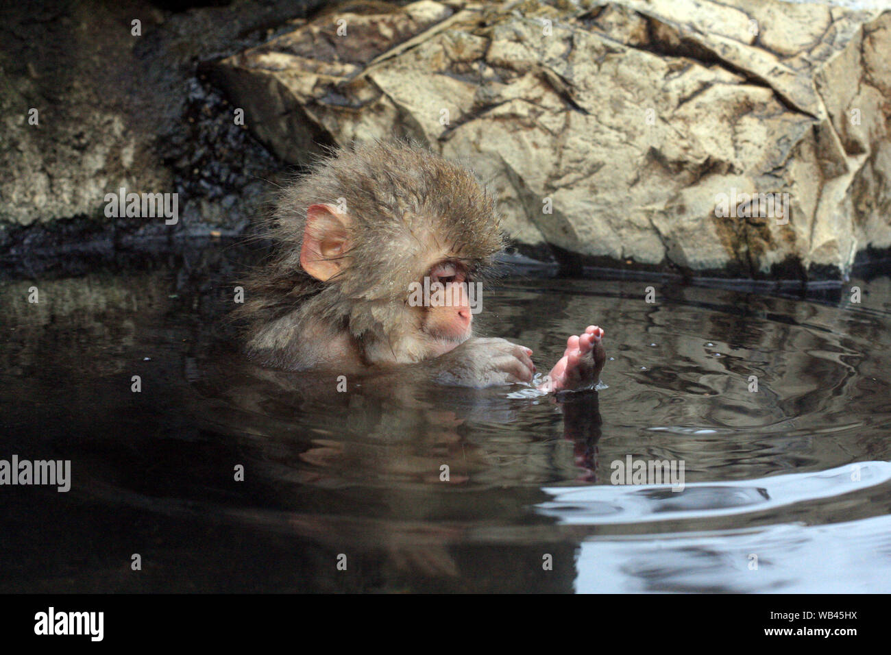 Hot bath for snow monkeys in Jigokudani Monkey Park in Nagano Japan Stock Photo