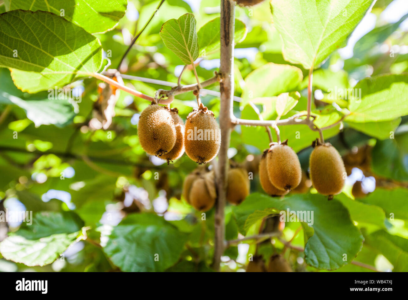 Kiwi Fruits On The Branches At Summer Season On Day Light Low Angle View Stock Photo Alamy