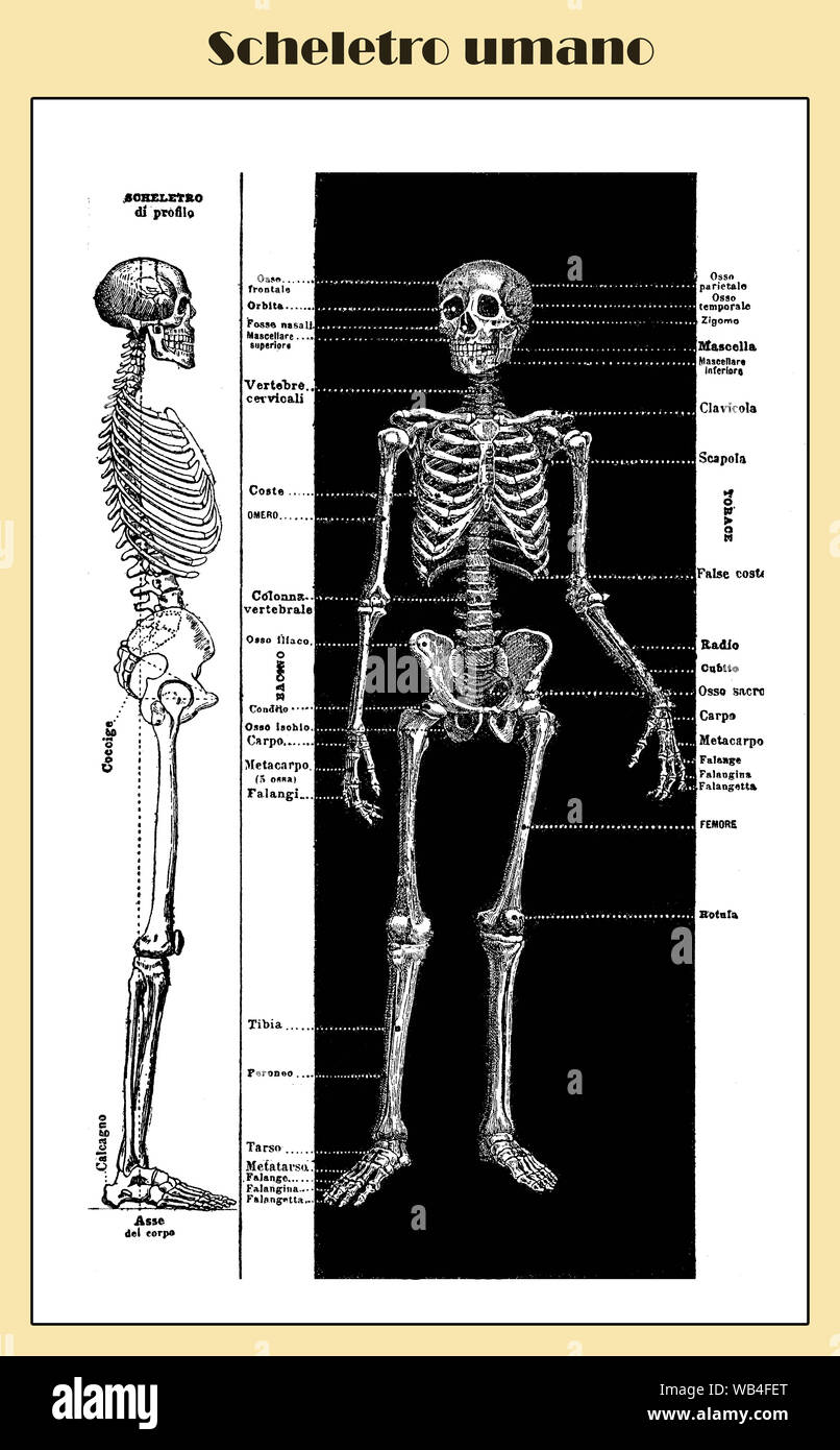 Anatomy, human complete bone skeletal structure front and lateral with Italian anatomical descriptions Stock Photo