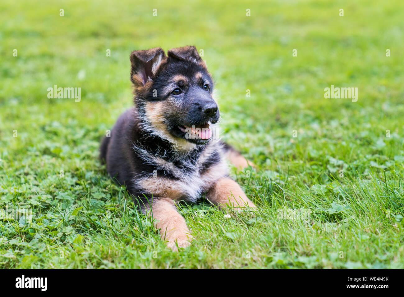 German Shepherd Puppy Enjoying Sitting In The Grass On A Sunny Day Stock Photo Alamy