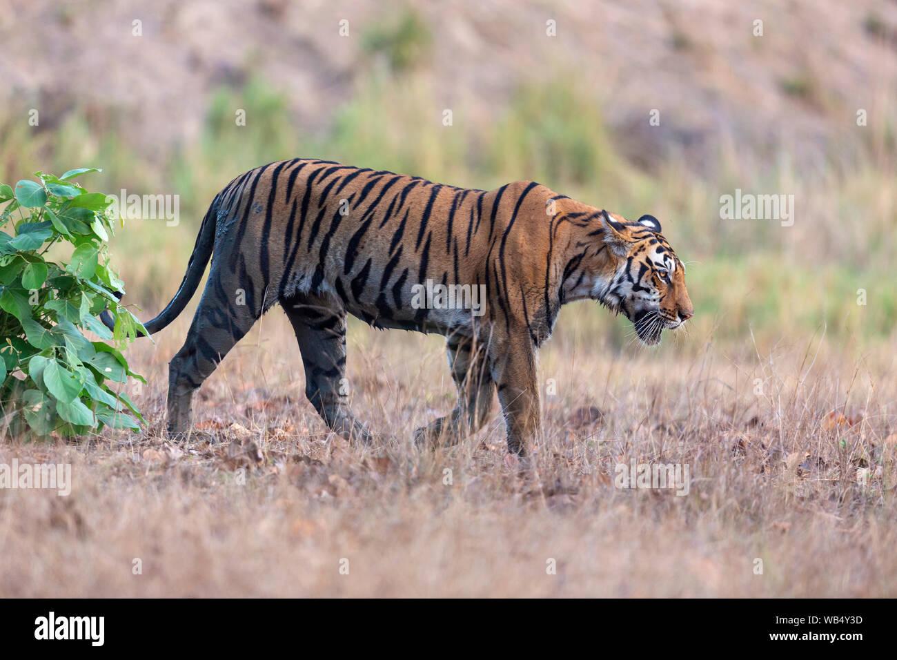 Wild Royal Bengal Tiger or Panthera Tigris Tigris roaming in