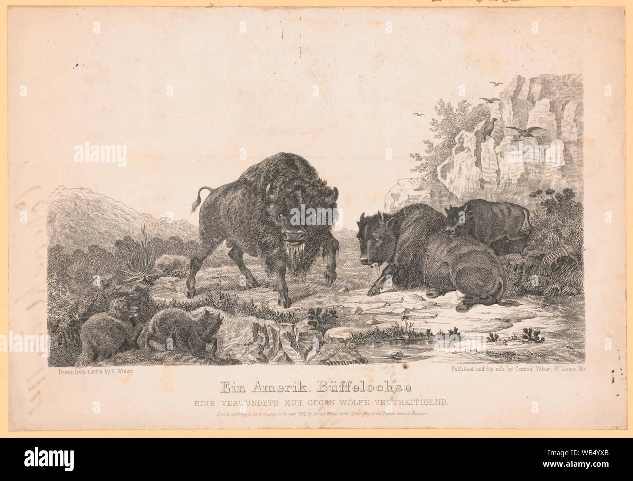 Ein  Amerik. buffelochse Stock Photo