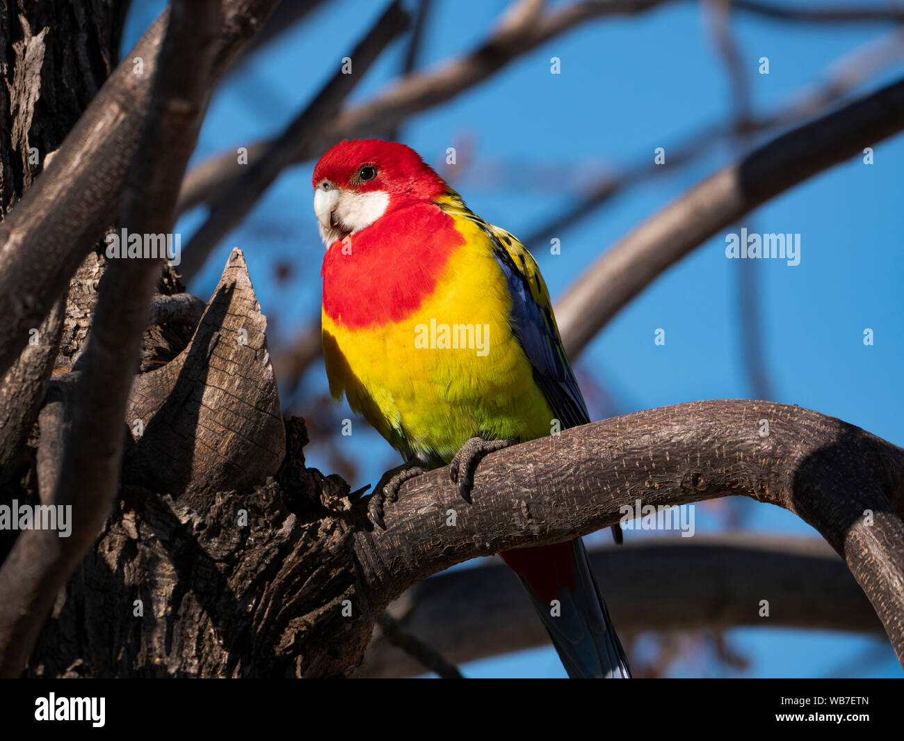 Eastern Rosella, Platycercus eximius, perched in a tree near Dubbo, Central Western New South Wales, Australia. Stock Photo