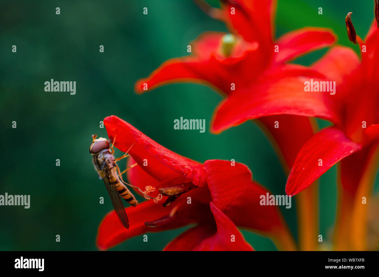 Close-up of marmalade hoverfly (female, Syrphidae - episyrphus balteatus) on the red flower of the Montbretia (Crocosmia lucifer) Stock Photo