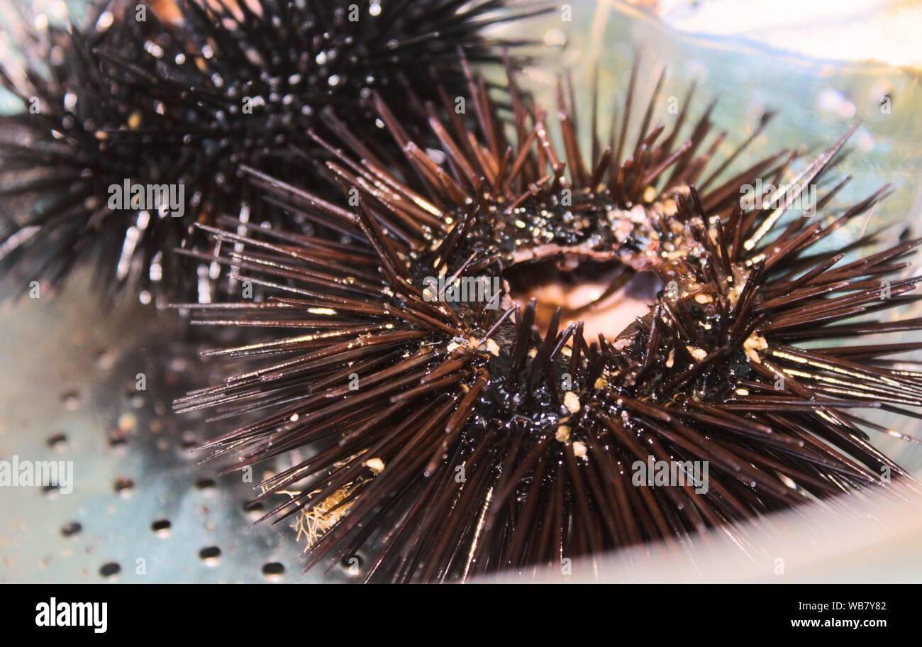 Banana navel steel black urchin