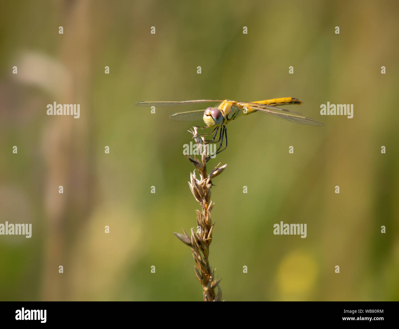 Yellow dragonfly - Red-veined Darter, Sympetrum fonscolombii. Stock Photo