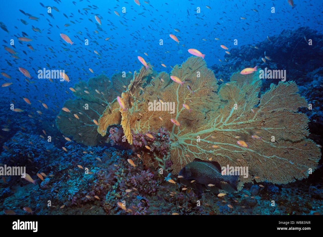 Sea goldies or Lyretail anthias (Pseudanthias squamipinnis) cruising at a Hickson's Fan Coral (Annella mollis), Negros, Visayas, Philippines Stock Photo