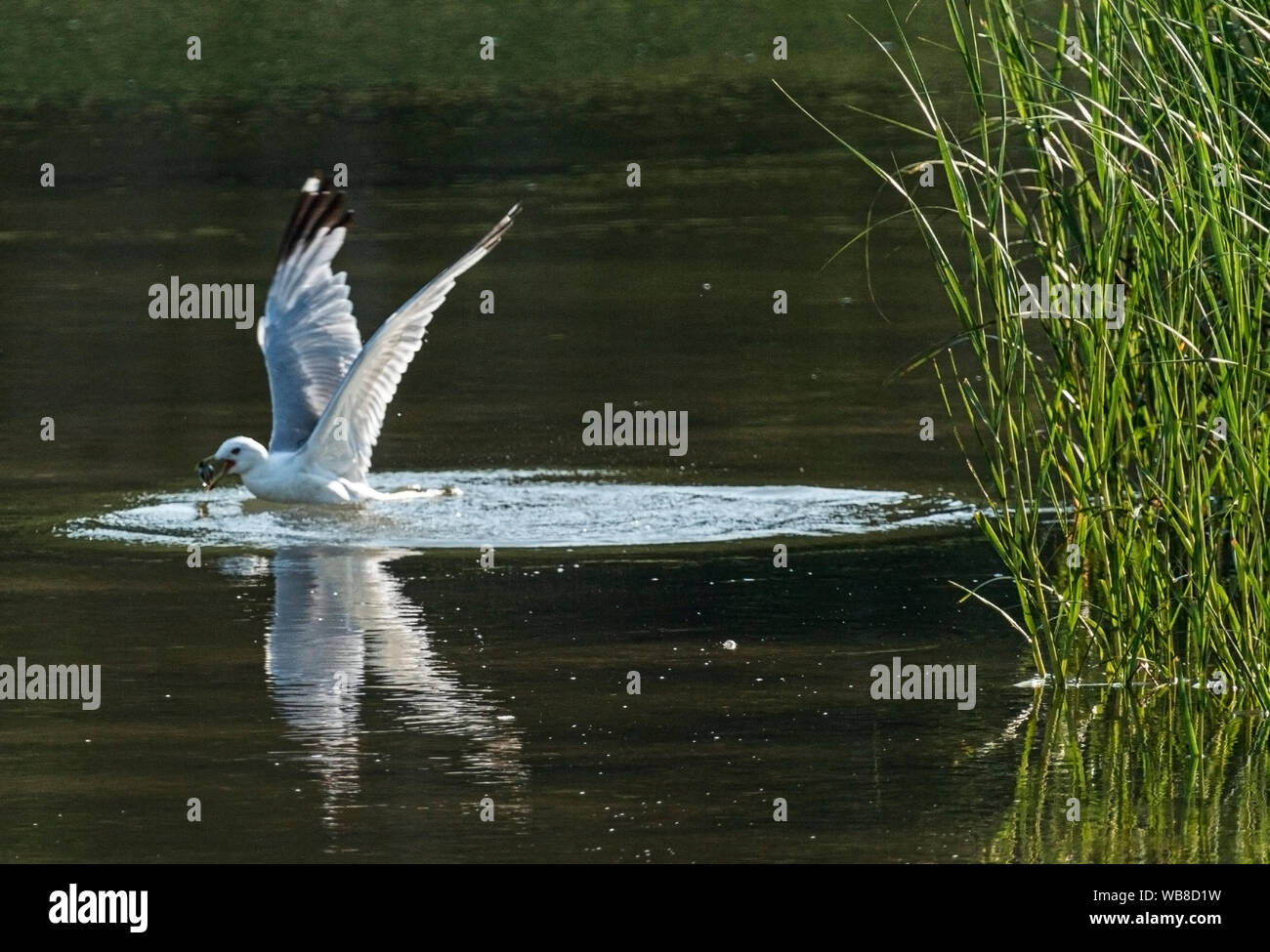 A seagull finds a clam in a creek and is about to fly out of the water with it. Stock Photo