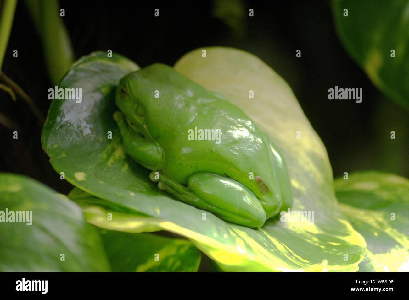 Javan tree frog, flying frog, wallace frog Stock Photo