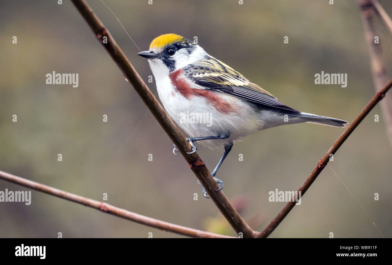 Closeup of a male bird Chestnut-sided Warbler (Dendroica pensylvanica) perching on a branch during spring migration,Ontario,Canada. Stock Photo
