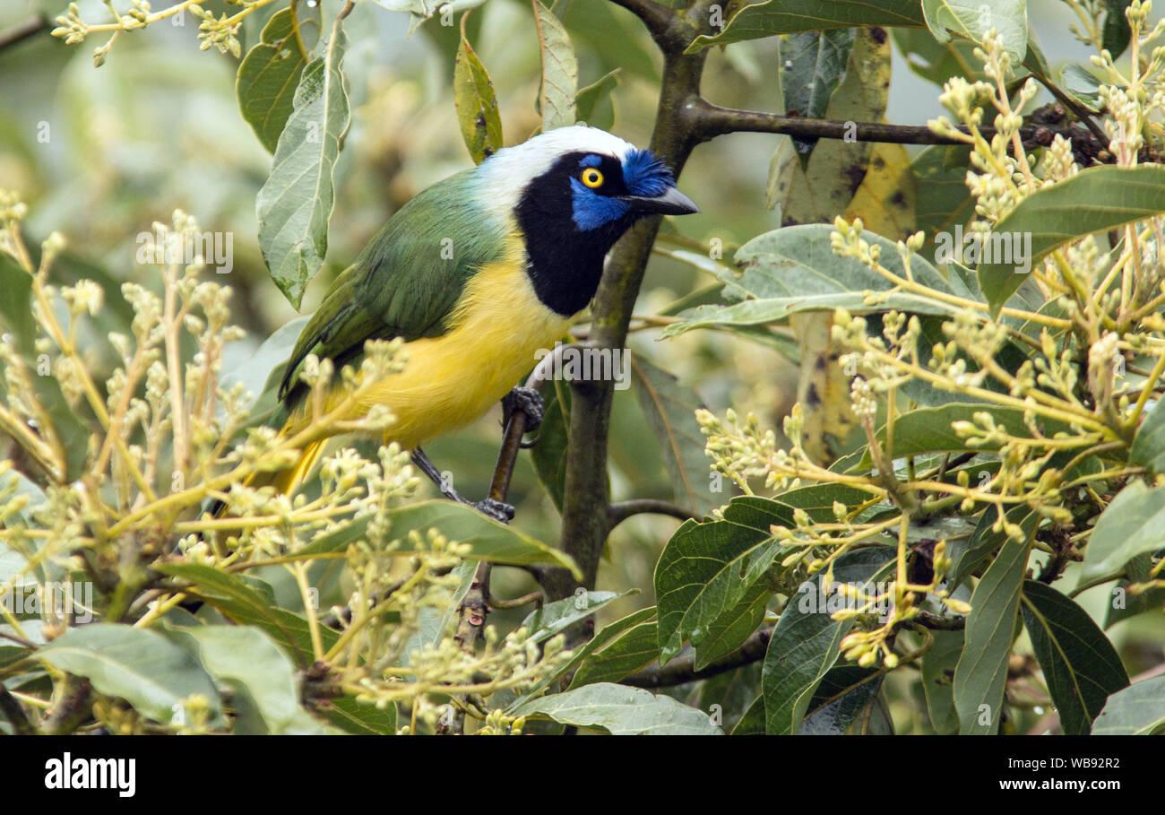 Closeup of colorful bird Inca Jay ( Cyanocorax yncas) perching in flowering tree in  Baeza,NE,Ecuador Stock Photo