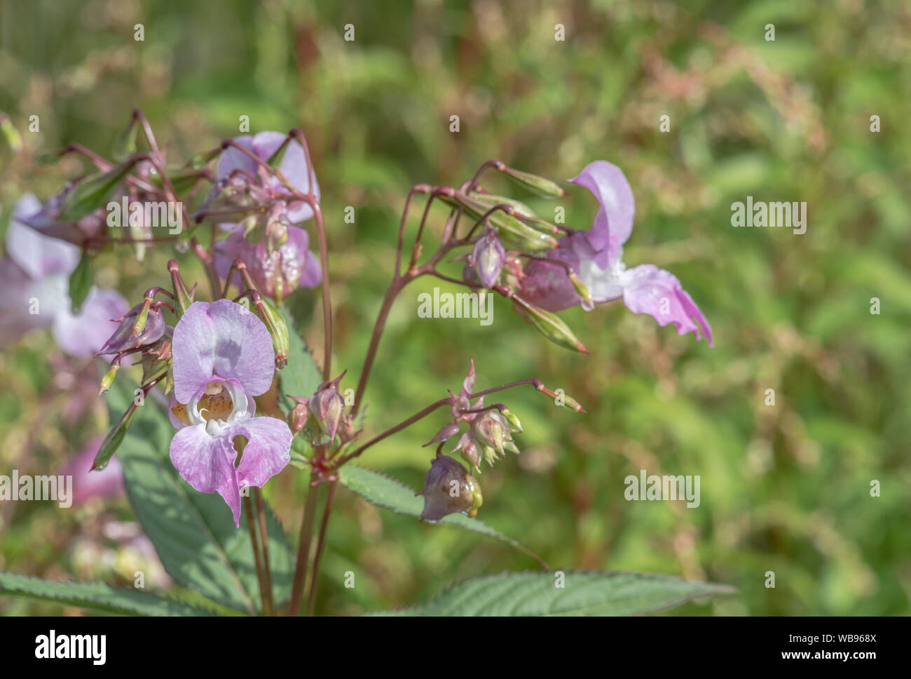 Flowers and upper leaves of the troublesome Himalayan Balsam / Impatiens glandulifera - which likes damp soils / ground, riversides, river banks. Stock Photo