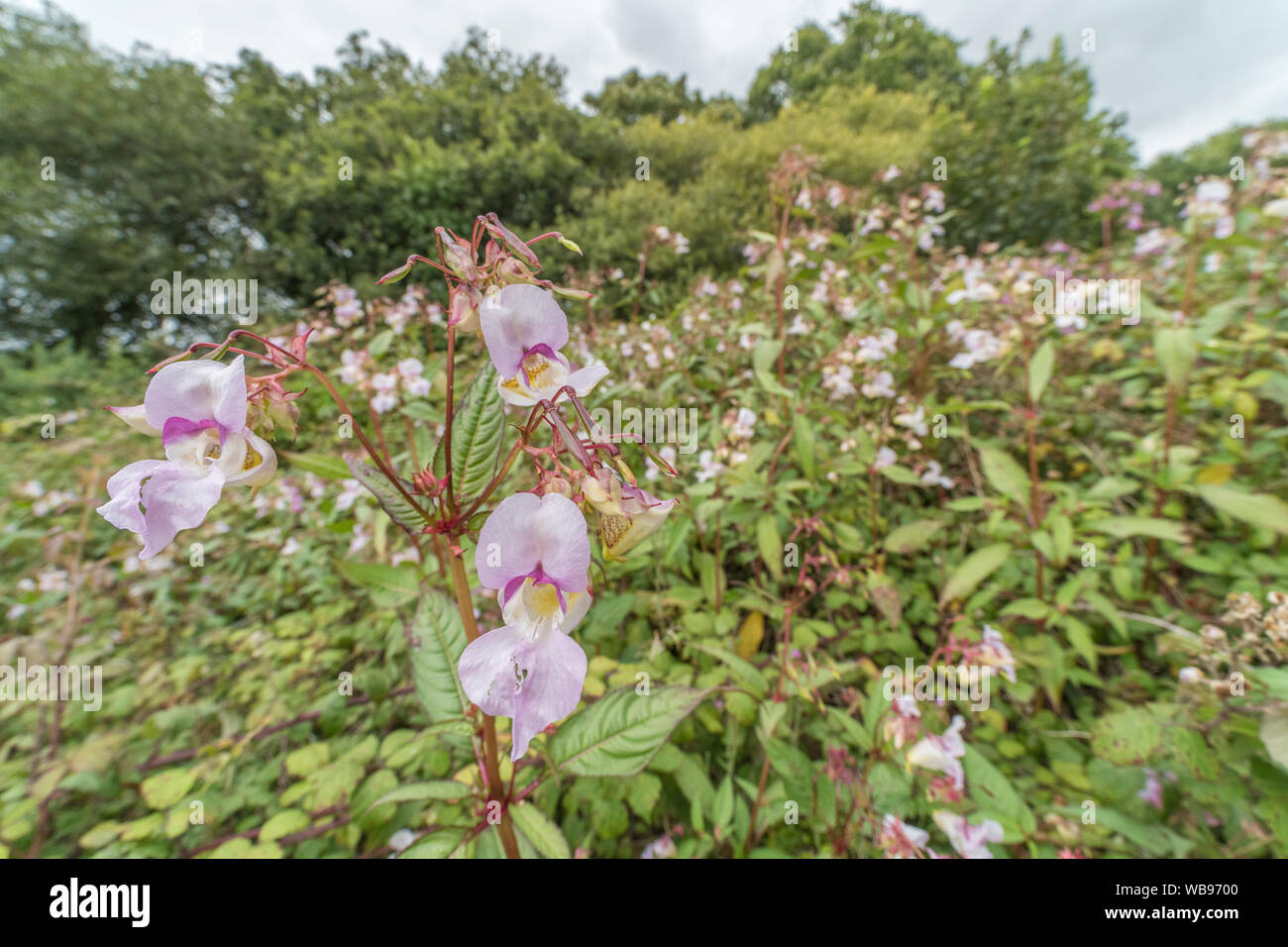 Flowers & upper leaves Himalayan Balsam / Impatiens glandulifera weed patch. Troublesome weed liking damp soils / ground, riversides, balsam invasion. Stock Photo