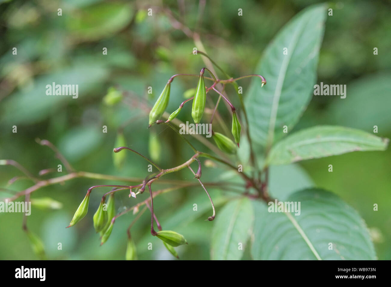 Developing seed pods & upper leaves of troublesome Himalayan Balsam / Impatiens glandulifera which likes damp soils / ground, riversides, river banks. Stock Photo