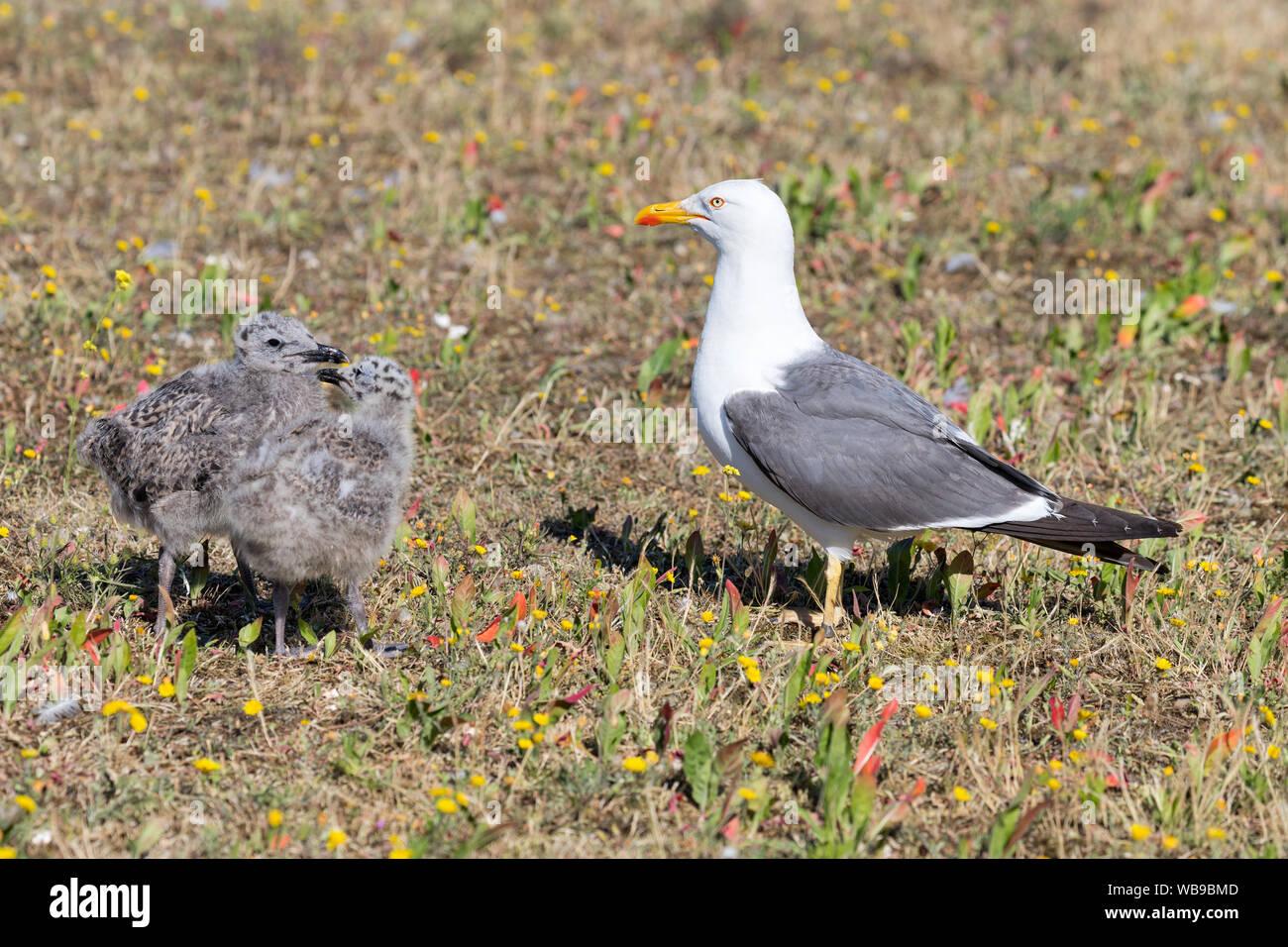 yellow-legged European herring gull (Larus argentatus) with chicks Stock Photo