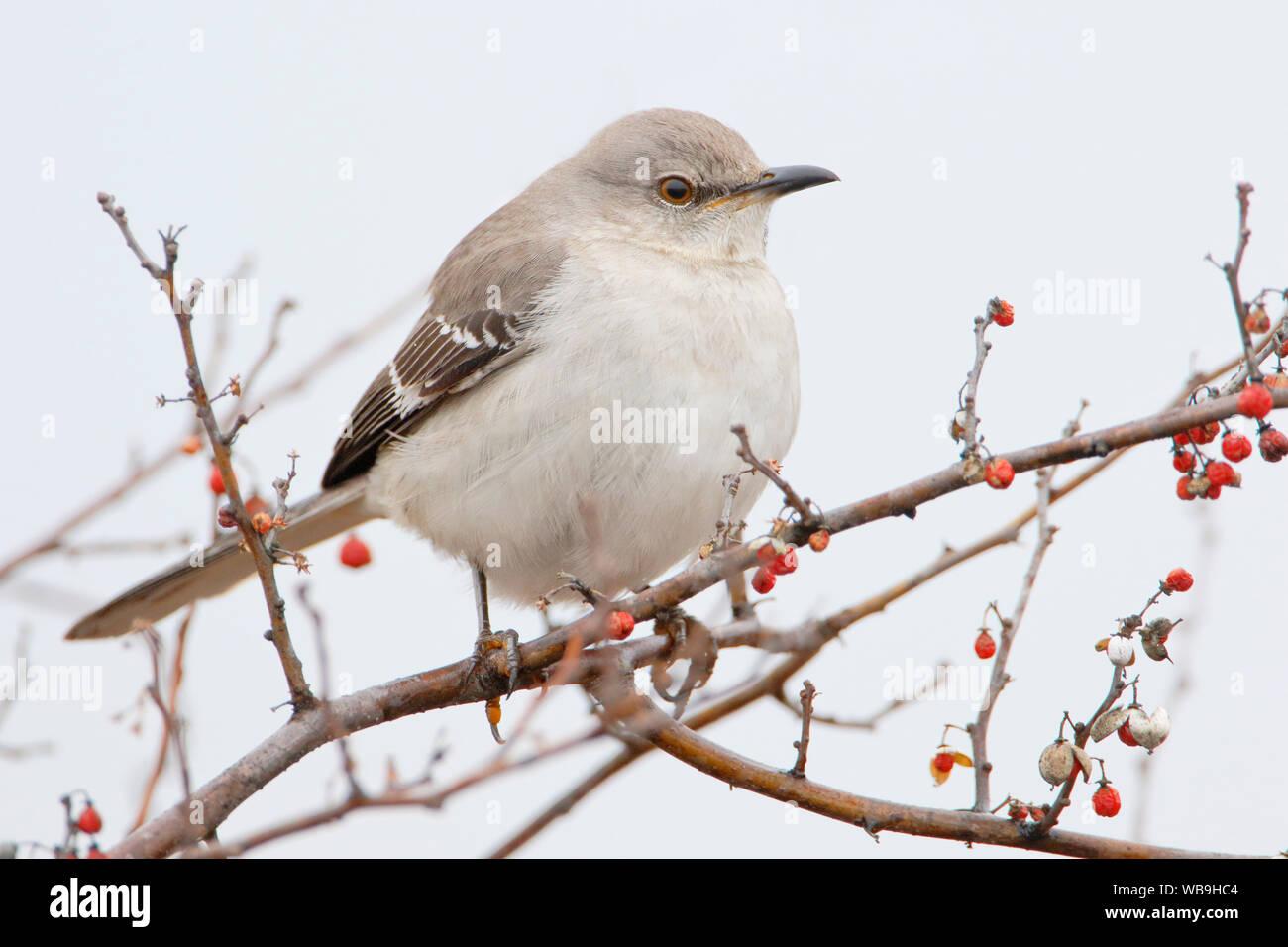 Northern Mockingbird (Mimus polyglottos) on branch at Jones State Park, New York, USA Stock Photo