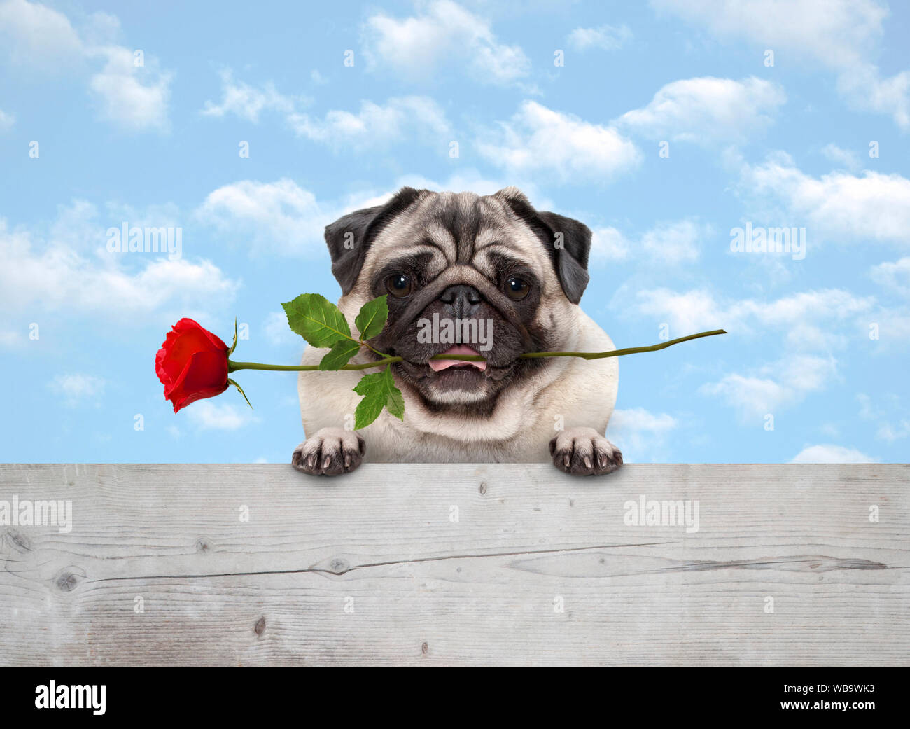frolic cute smiling pug puppy dog with red rose in mouth, with paws on wooden fence banner, with blue sky background Stock Photo