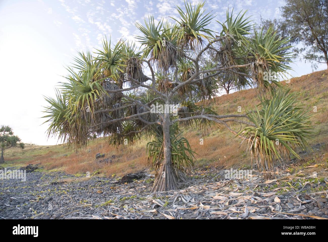 Thatch screwpine (Pandanus tectorius), a hardy sand- and salt-tolerant plant. Woongarra Marine Park, Queensland, Australia Stock Photo