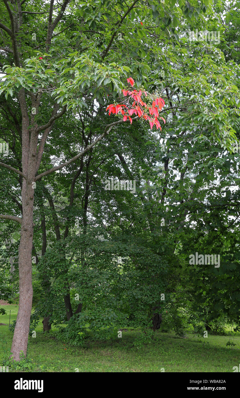 Beautiful tree with a touch of red foliage in Arnold Arboretum of Harvard University, Boston, Massachusetts Stock Photo