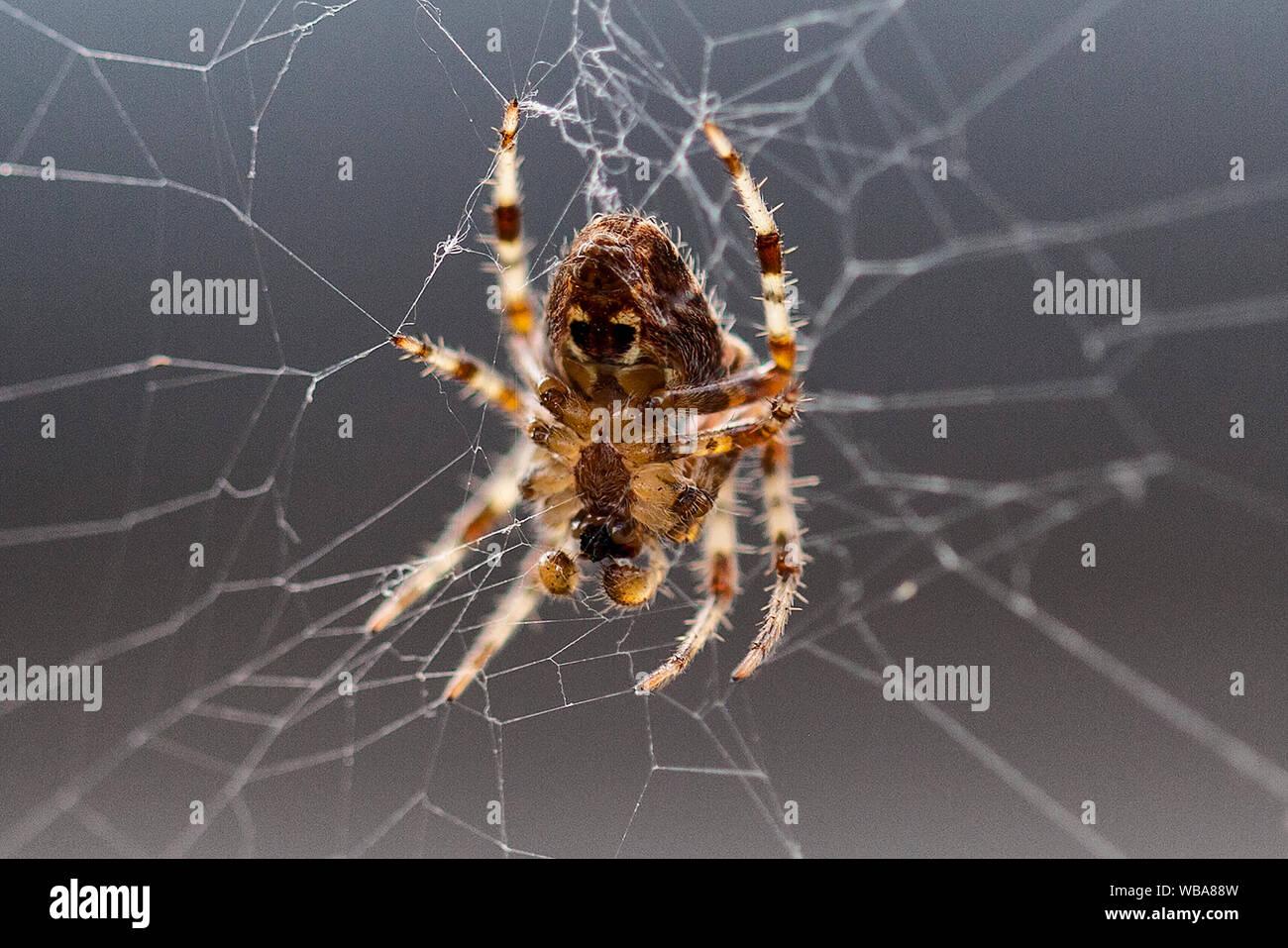 Macro close-up photos of spider arachnid in a cobweb web spiderweb trapping prey Stock Photo