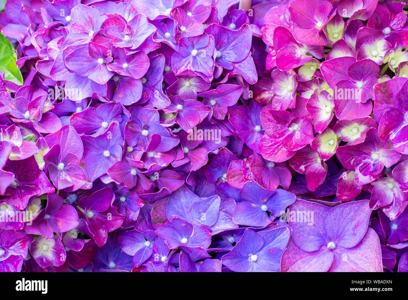 Ornamental Plant Hydrangea Macrophylla Bright Lilac Purple