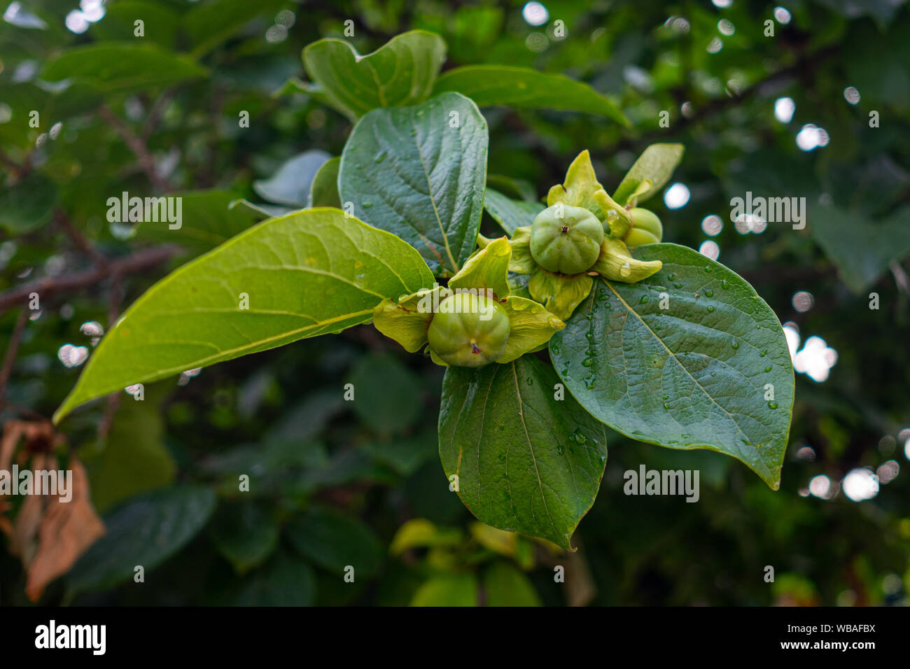The fruits of unripe persimmons hang on a branch. Stock Photo