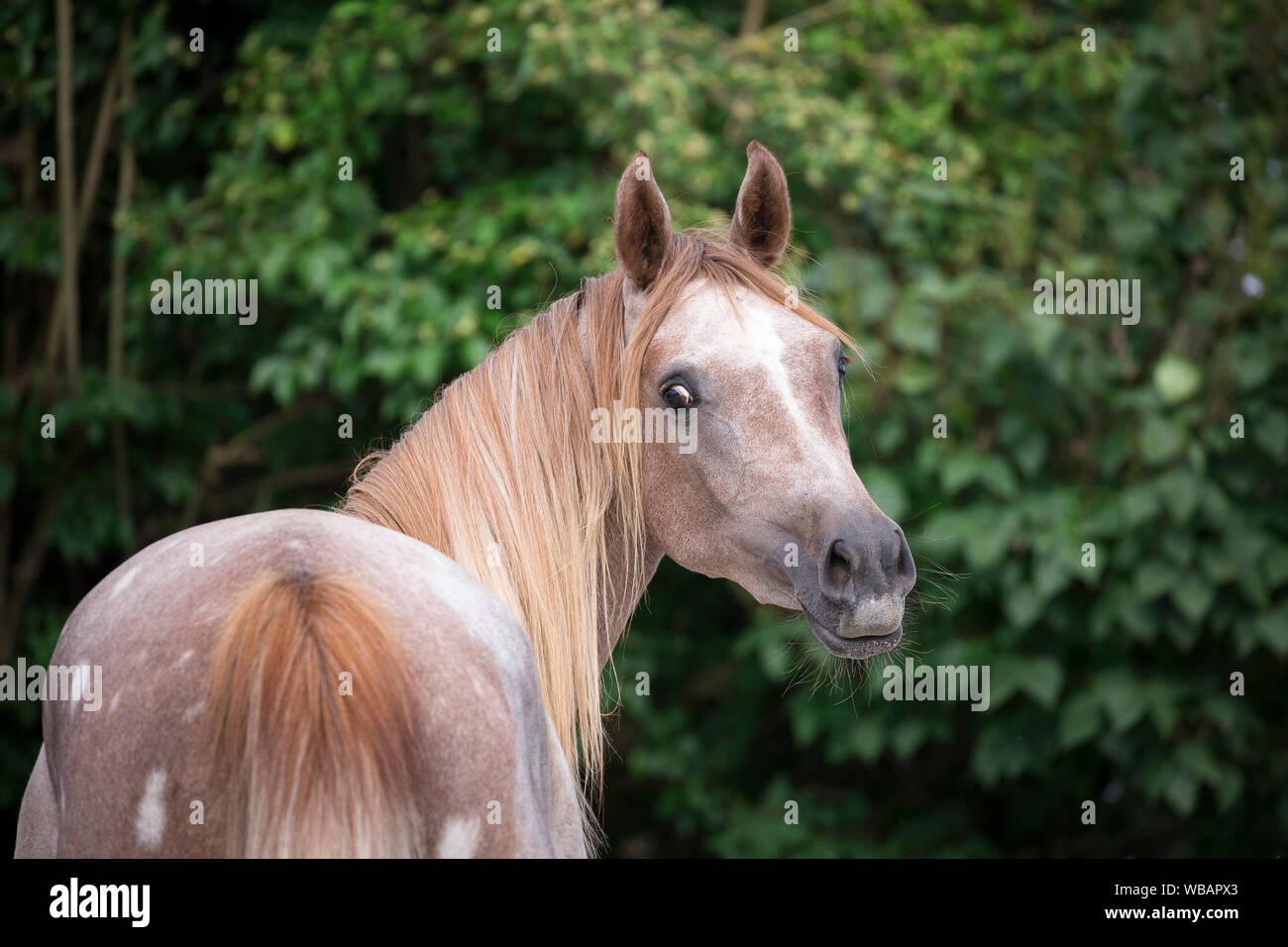 Arabian Horse Portrait Of Red Roan Juvenile Mare Austria Stock Photo Alamy