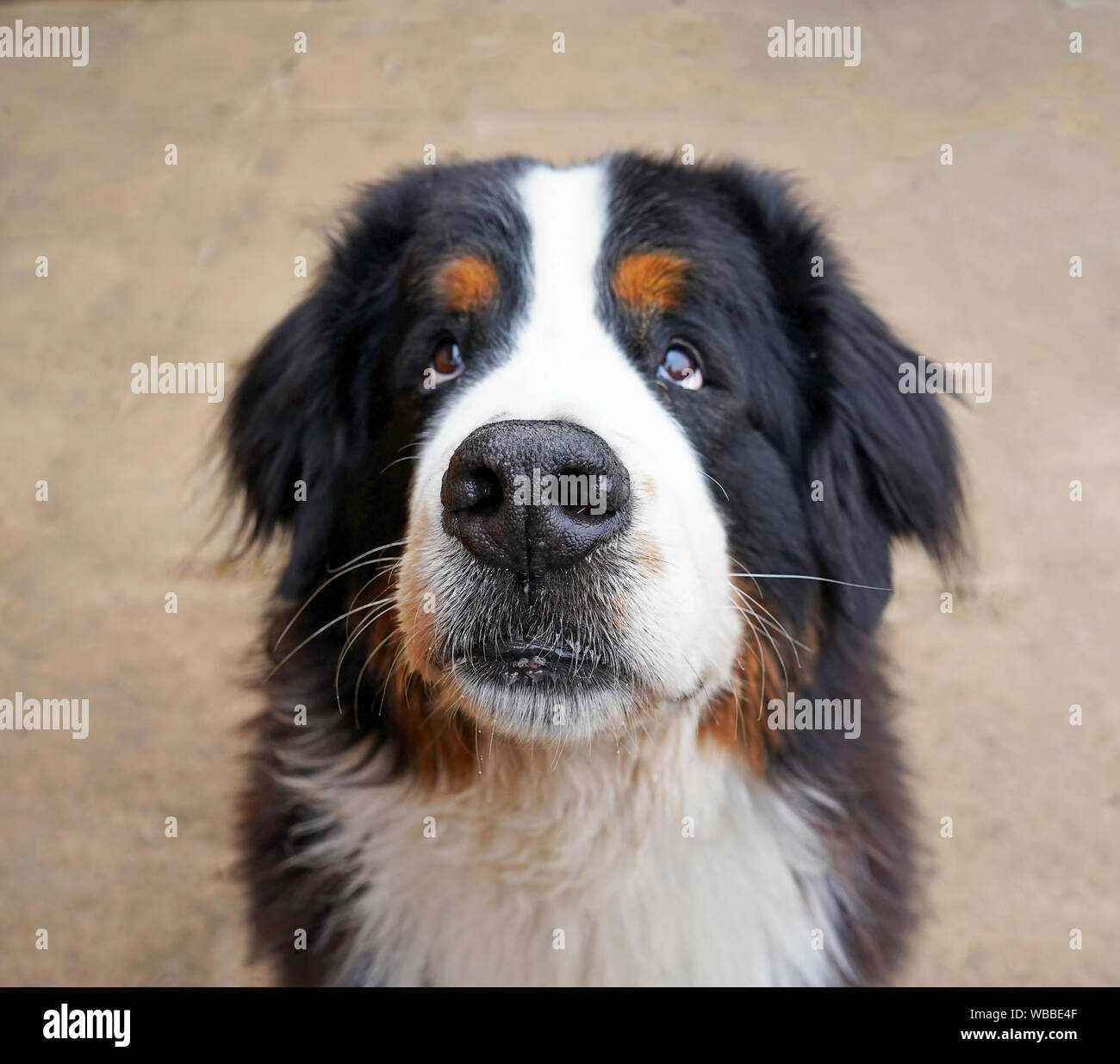 The Portrait Of The Bernese Mountain Dog Looking At The Camera Puppy Eyes Stock Photo Alamy