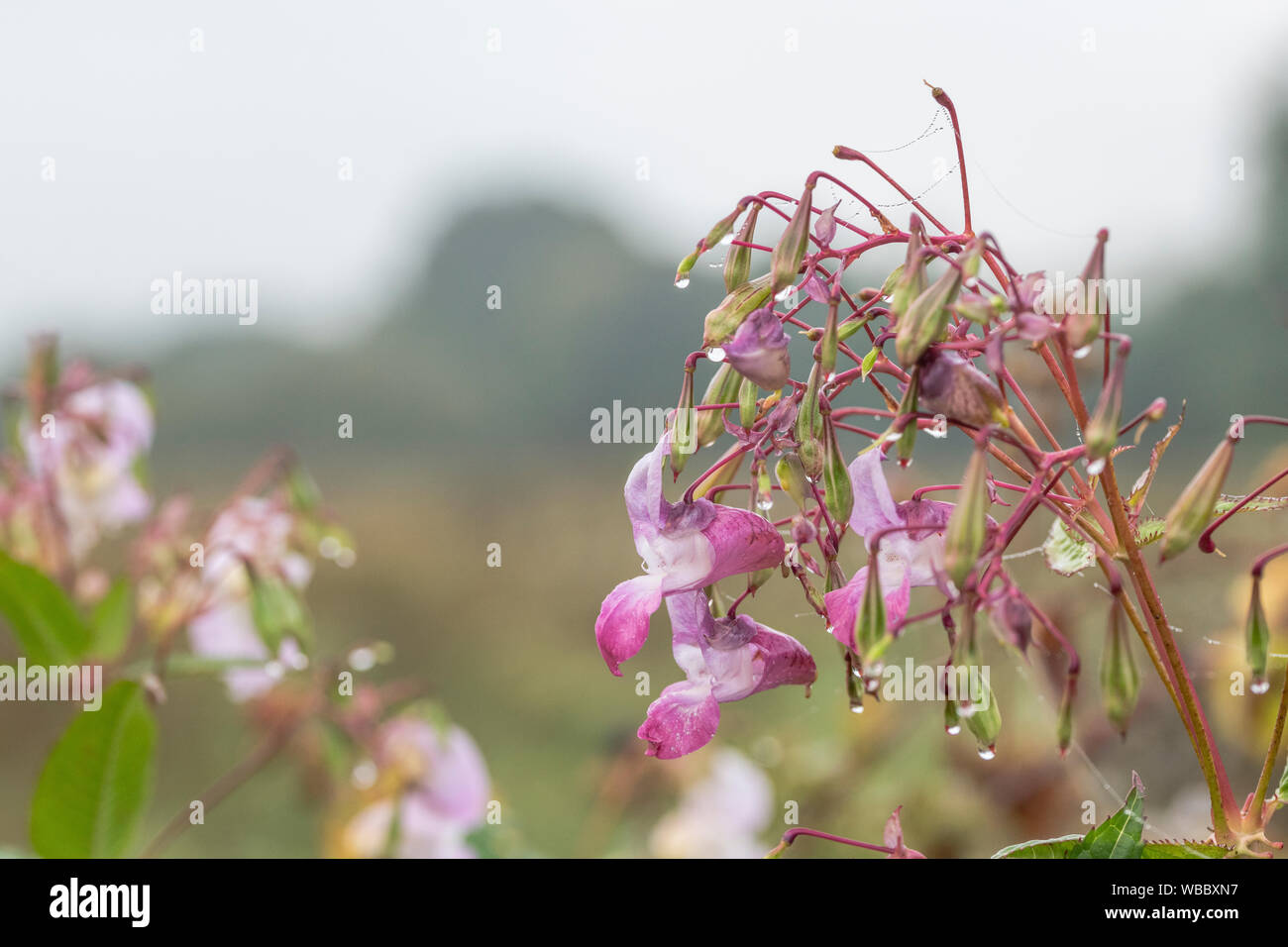 Flowers and upper leaves of troublesome Himalayan Balsam / Impatiens glandulifera. Likes damp soils / ground, riversides, river banks, hygrophilous. Stock Photo