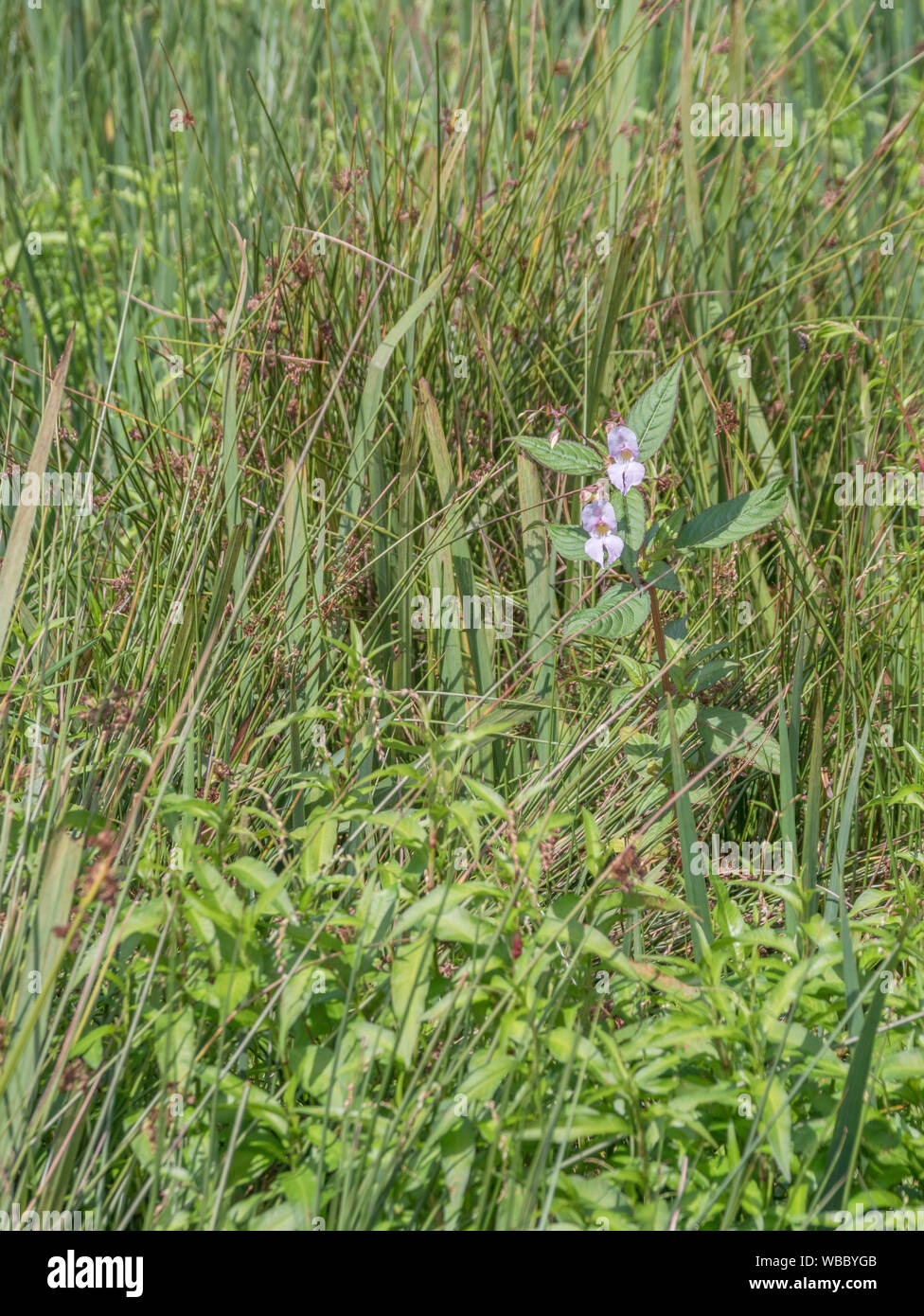 Specimen of troublesome Himalayan Balsam / Impatiens glandulifera. Likes damp soils / ground, riversides, and river banks growing in wet ground. Stock Photo