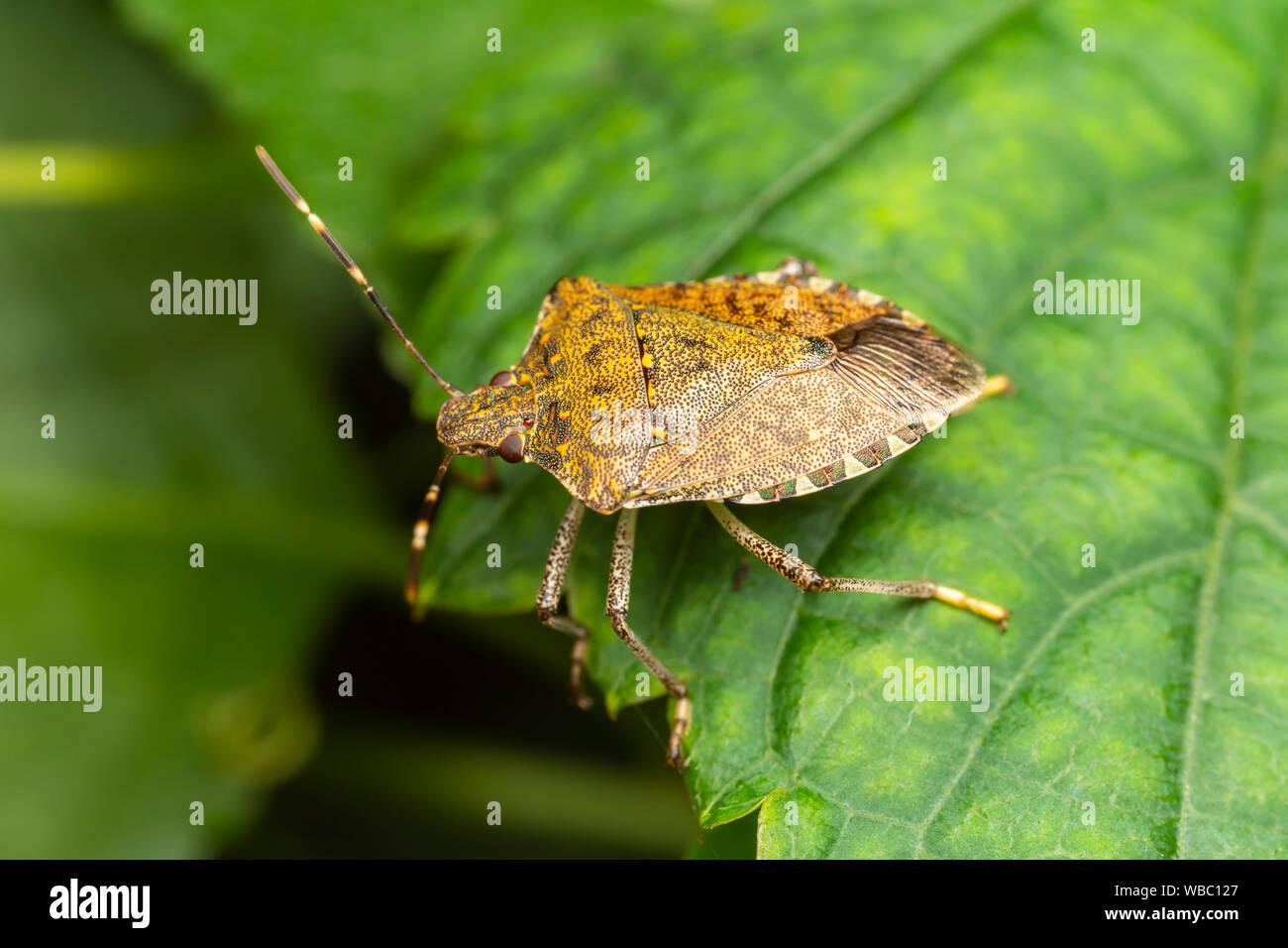 Brown Marmorated Stink Bug (Halyomorpha halys) Stock Photo