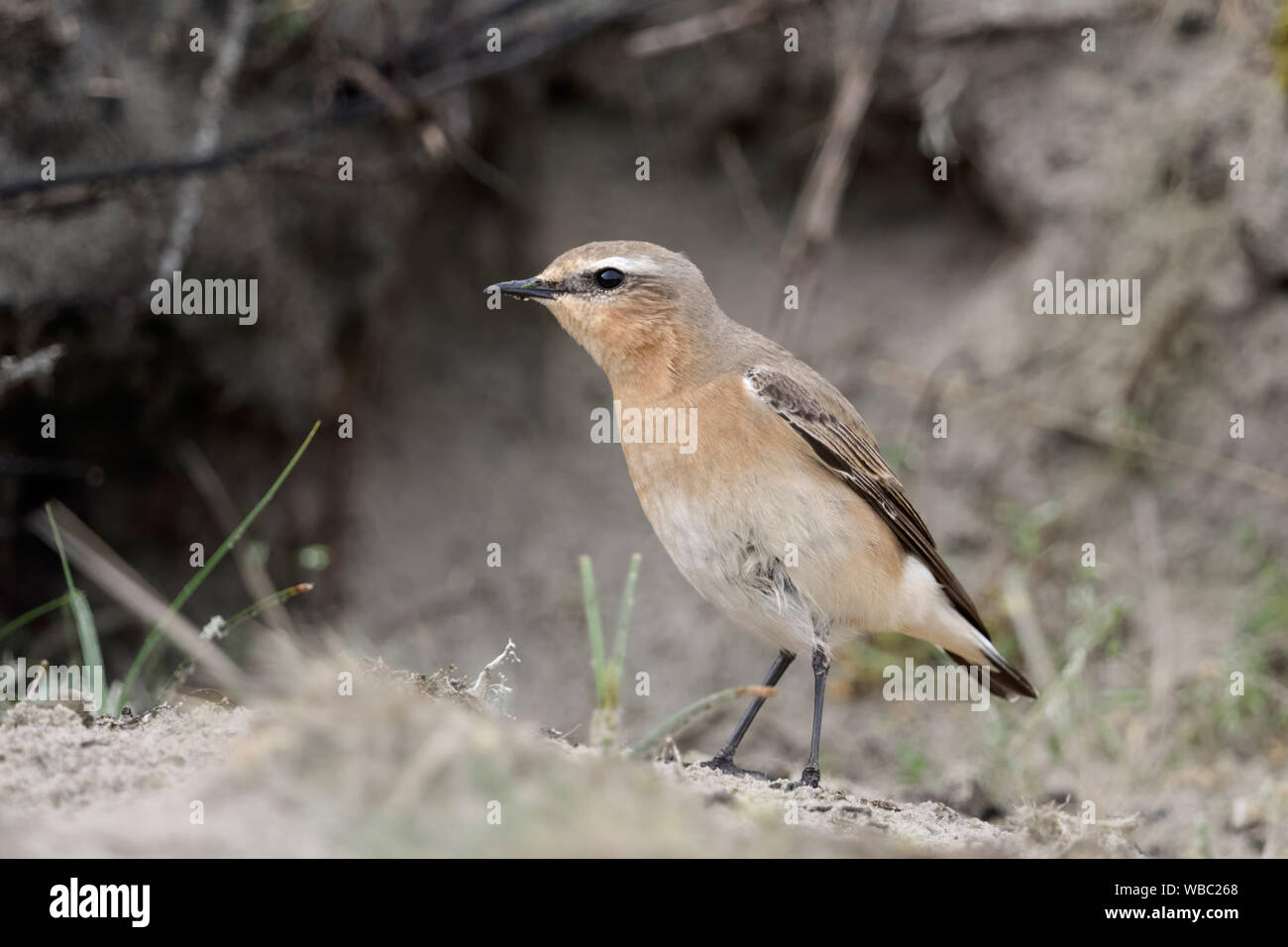 Northern Wheatear / Steinschmätzer ( Oenanthe oenanthe ), male adult, investigating a rabbit burrow, watching for potentiell nesting site, wildlife, E Stock Photo
