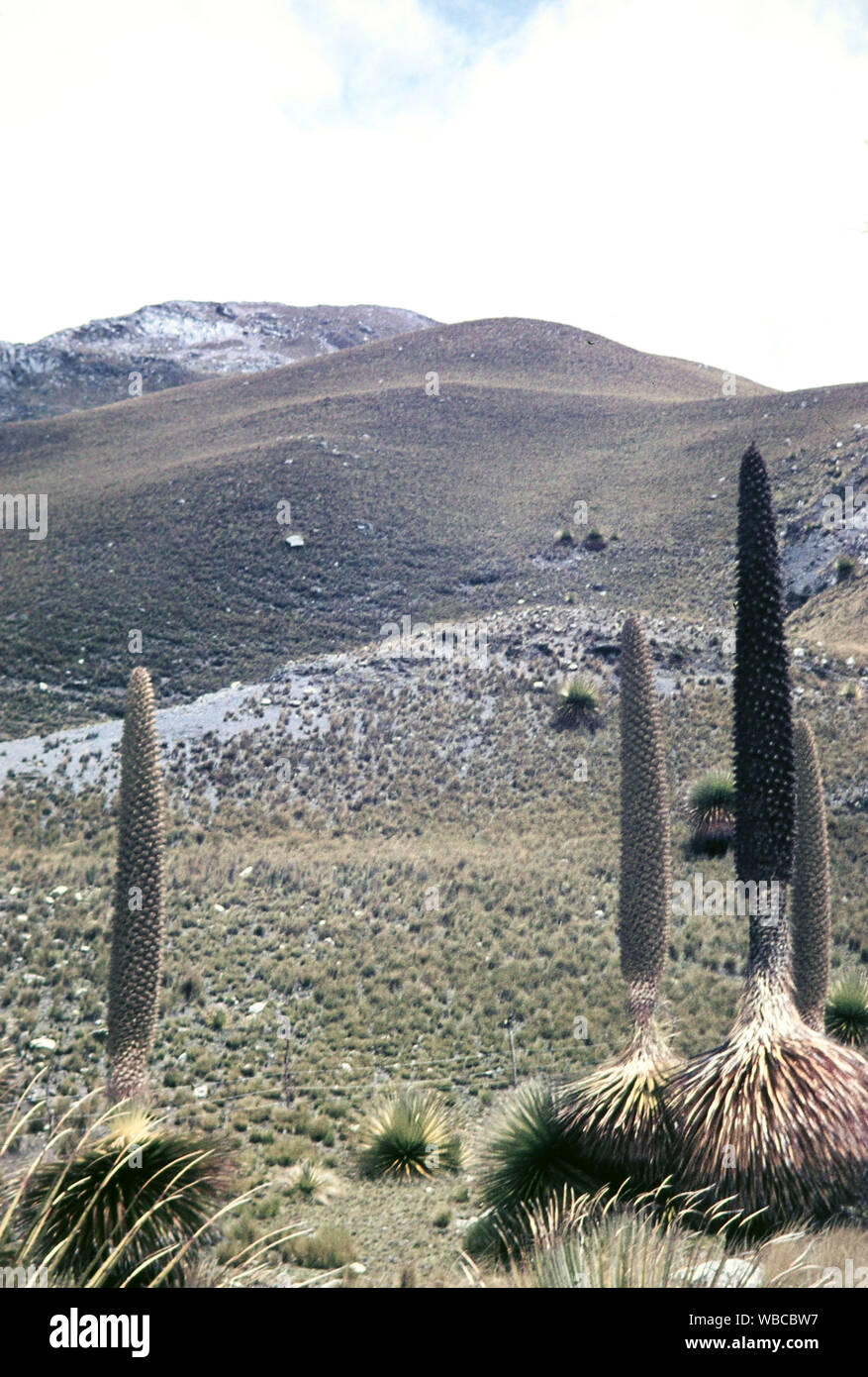Noch verschlossene Puya Raimondii, Bromeliengewächs, beheimatet in Peru, 1960er Jahre. Still closed Puya Raimondii, bromeliad at Peru, 1960s. Stock Photo