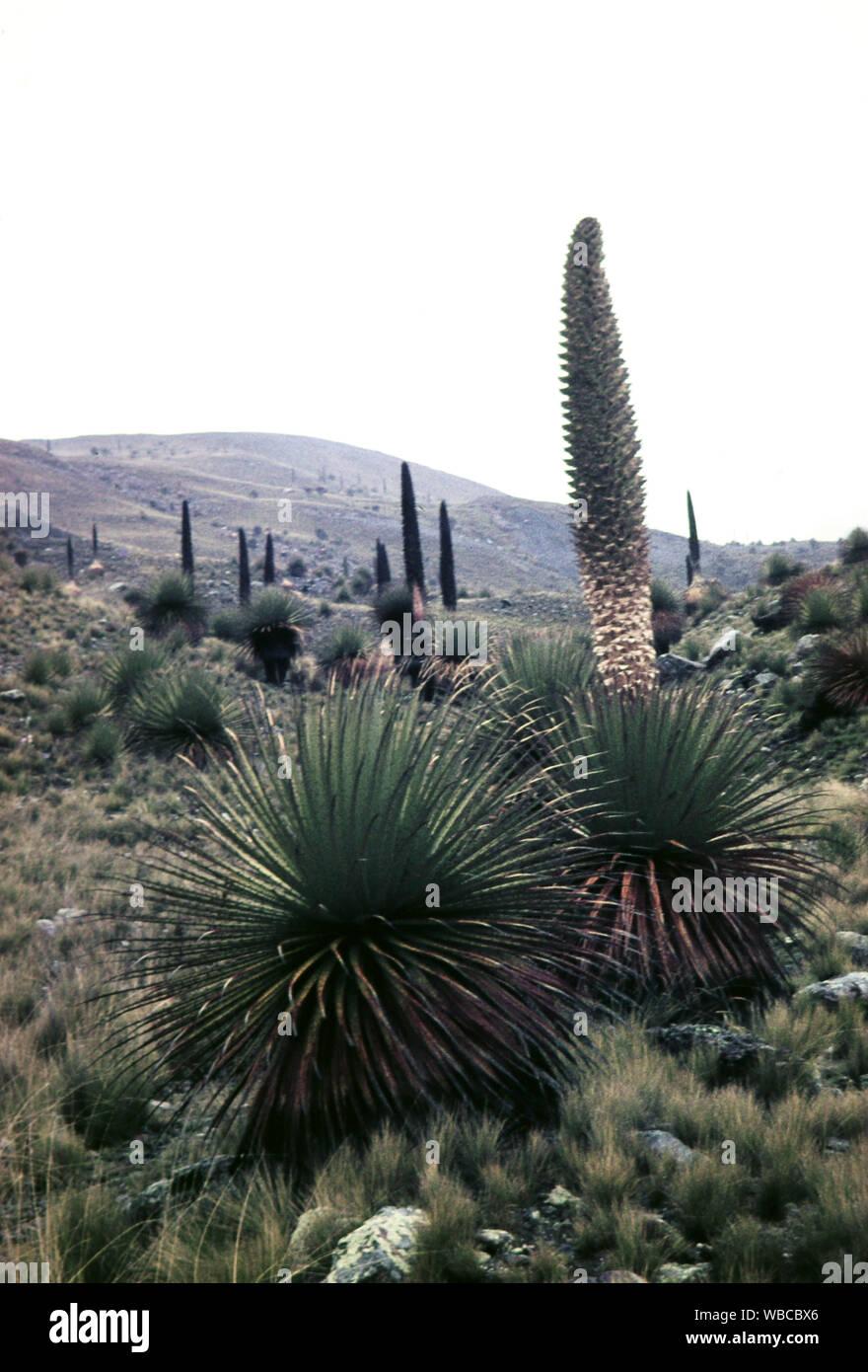 Noch verschlossene Puya Raimondii, Bromeliengewächs, beheimatet in Peru, 1960er Jahre. Still closed Puya Raimondii, bromeliad at Peru, 1960s. Stock Photo