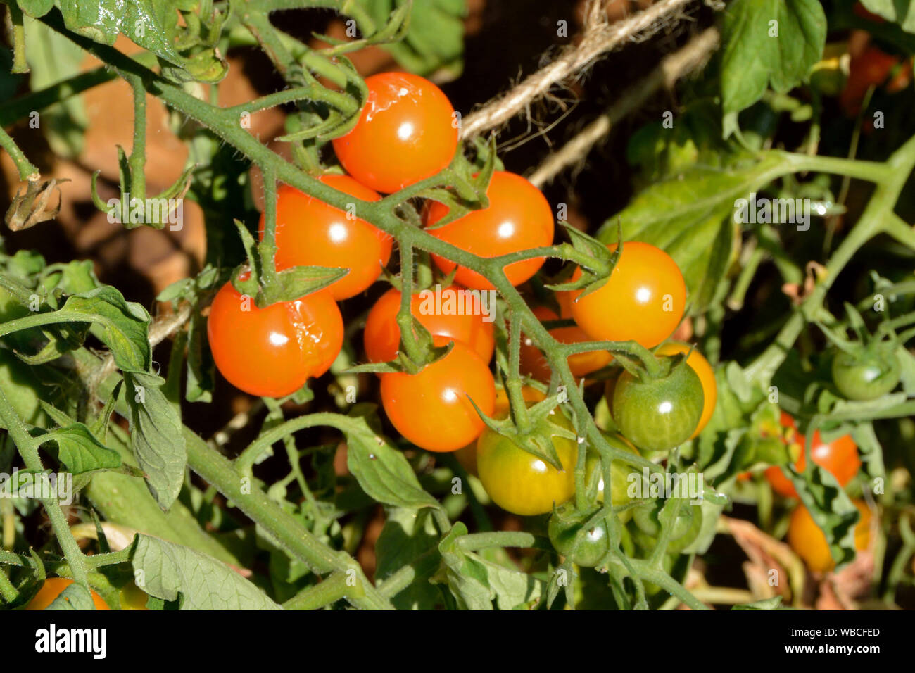 Tomatoes growing in a UK garden Stock Photo