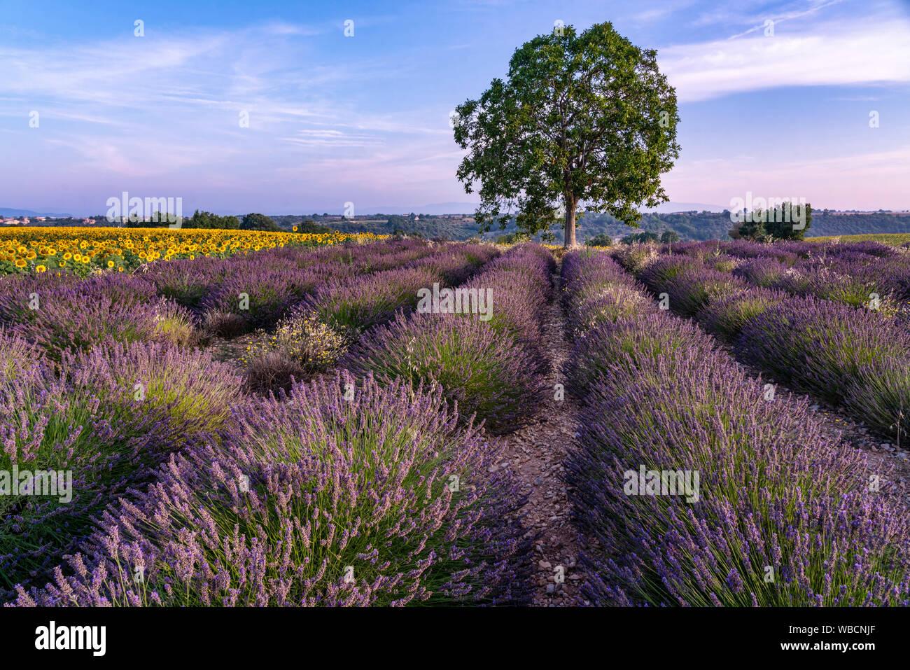 Lavender and sunflower field, Lavandula angustifolia, Plateau de Valensole, France, Provence-Alpes-Cote d'Azur, France Stock Photo
