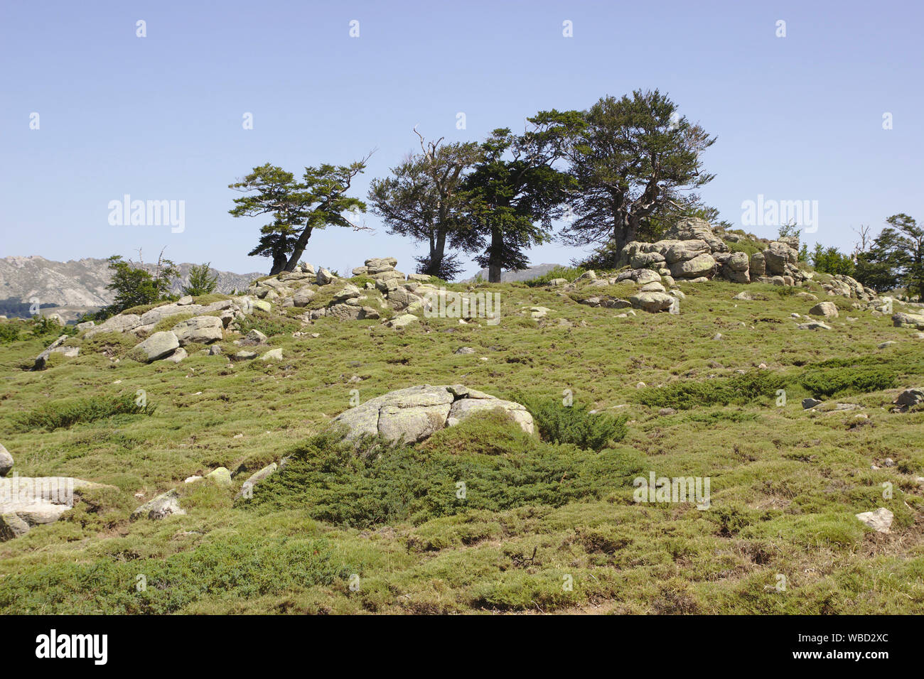 Trees on plateau near Monte Incudine, France, Corsica, old route of GR20 Stock Photo
