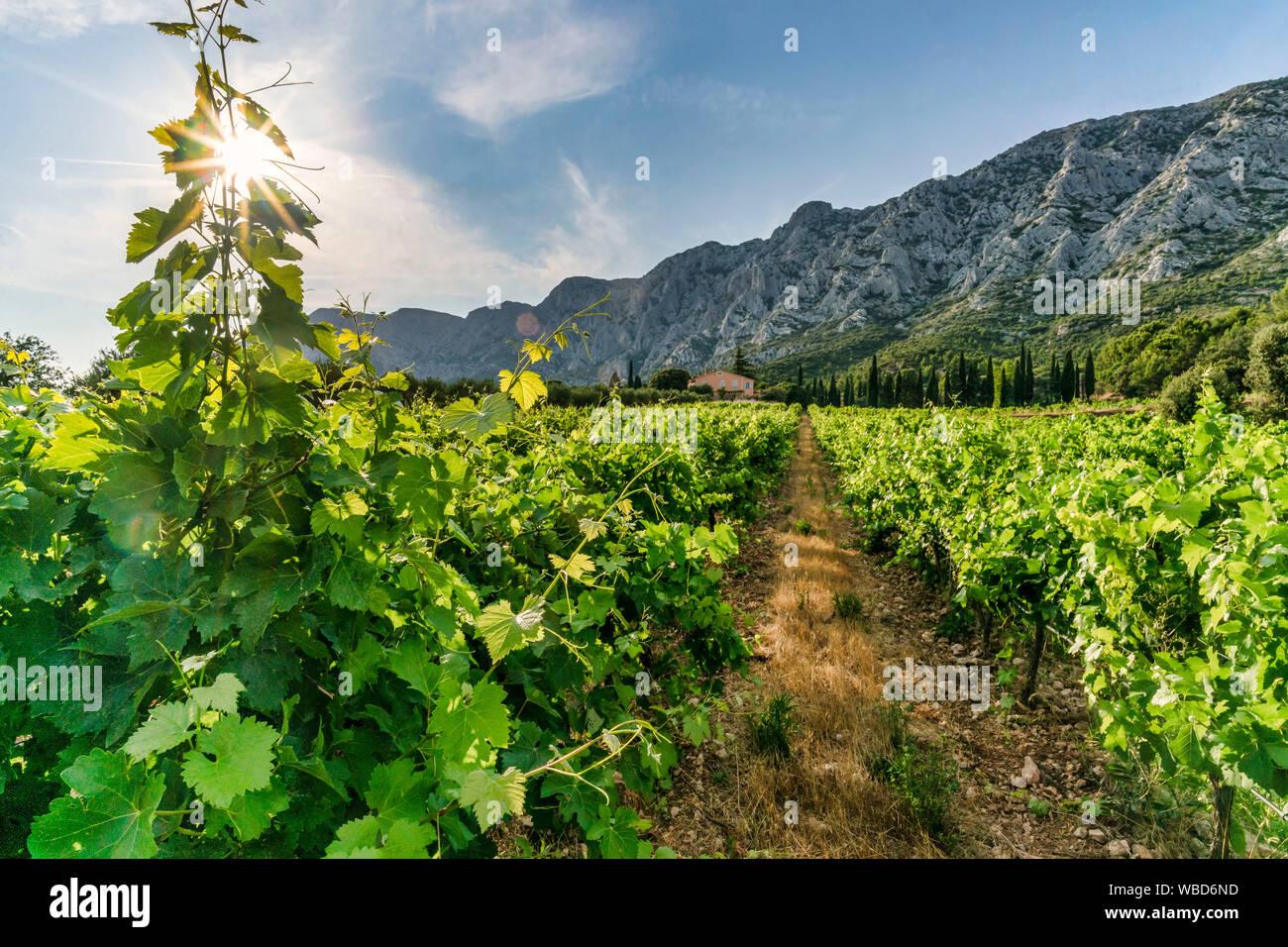 Vineyards Domaine de Saint Ser, Route Cezanne, Montagne Sainte-Victoire, Provence,  Bouches-du-Rhône, france Stock Photo