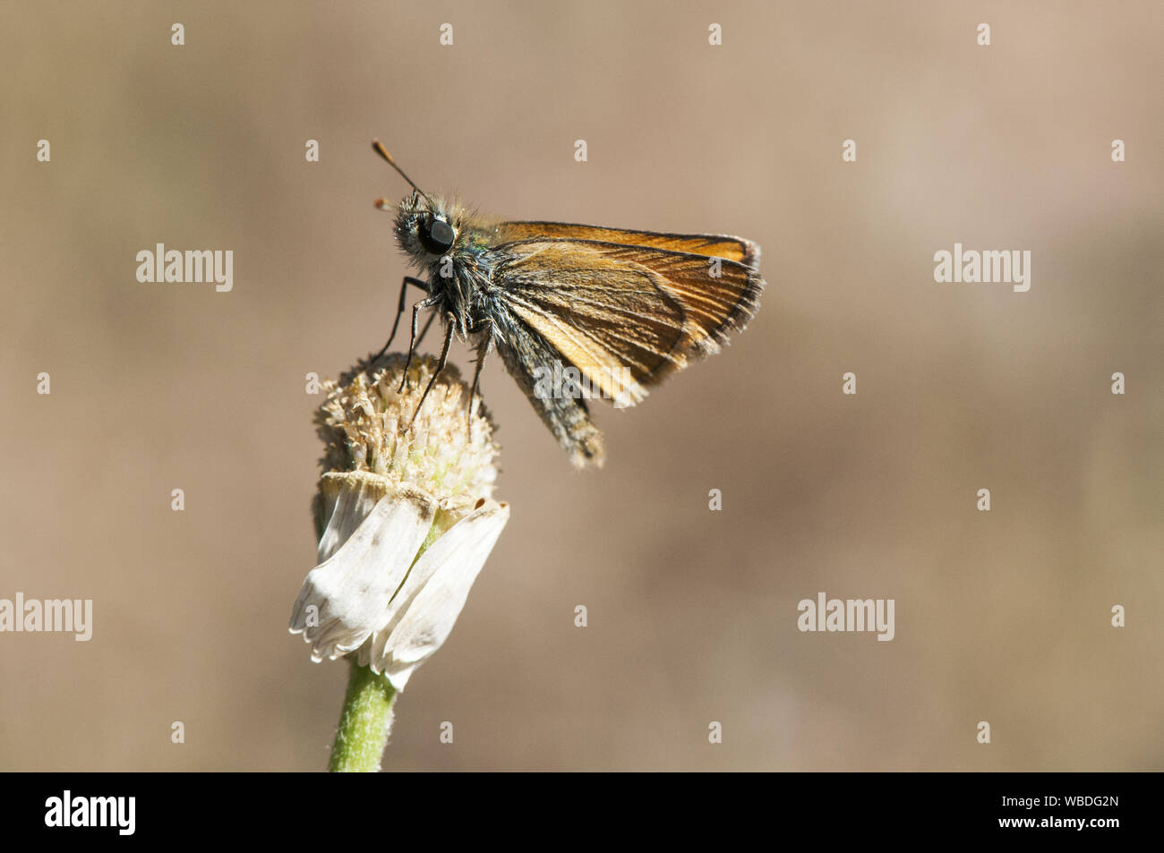 Thymelicus The Lulworth skipper butterfly of the family Hesperidae very common in the fields of Andalucia brown background orange natural light Stock Photo