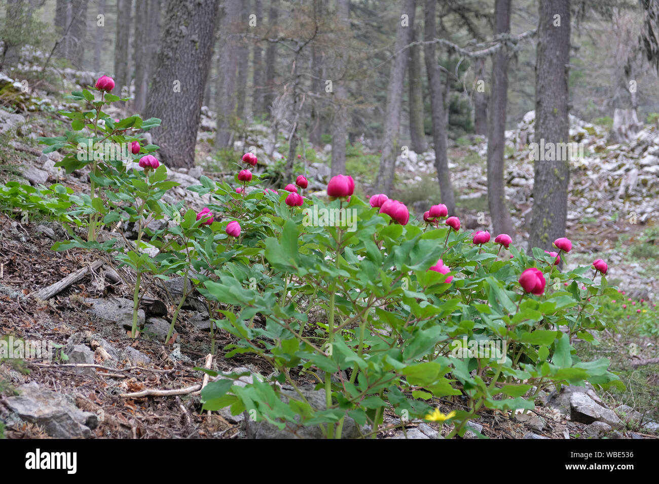 cedar forest in antalya looks better with peony flowers Stock Photo