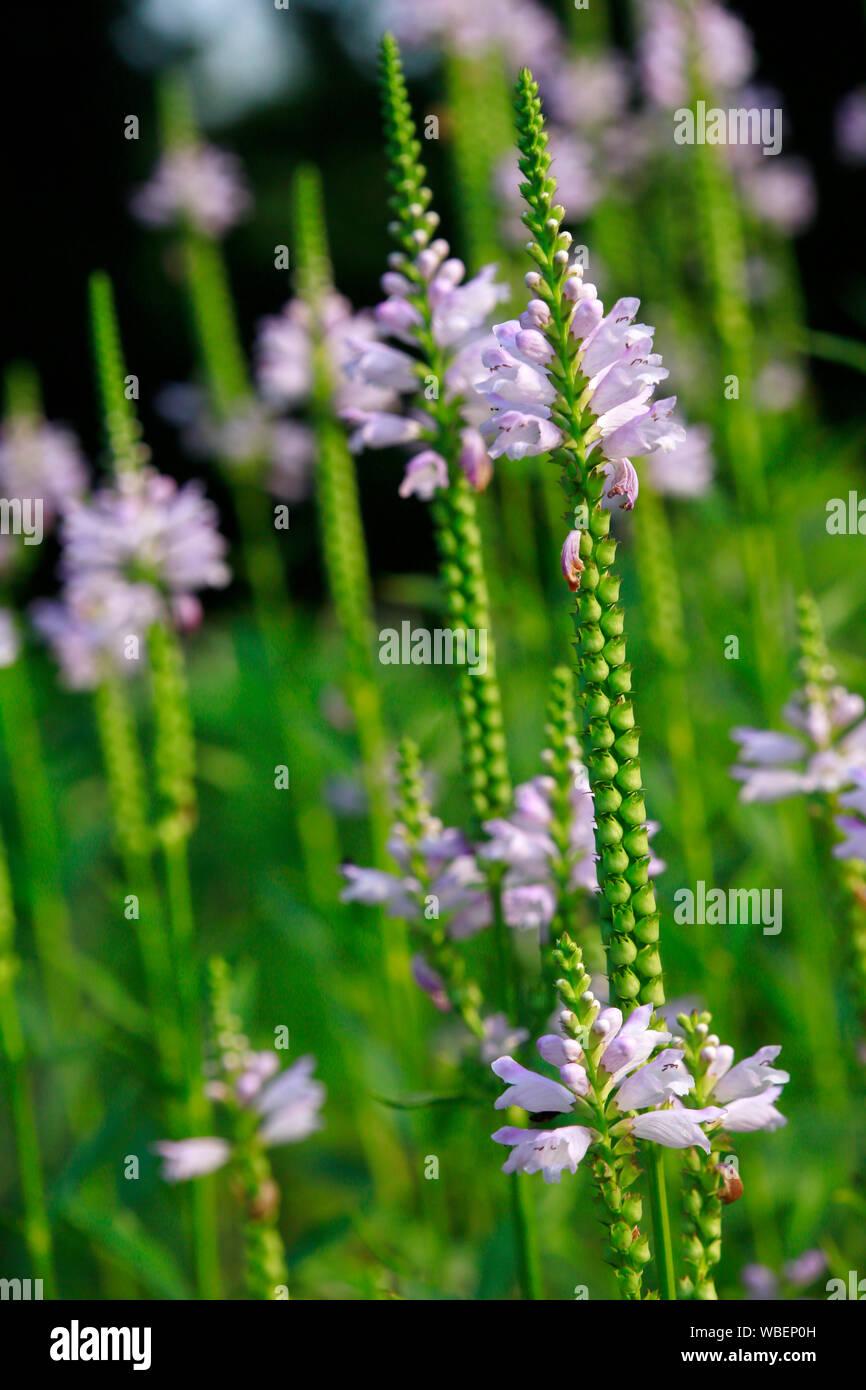 Co 2 L Etagenerika Summer Snow Weiße Gelenkblume
