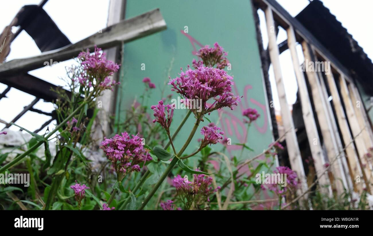 Low Angle View Of Purple Flowering Plants Against Fence Stock Photo