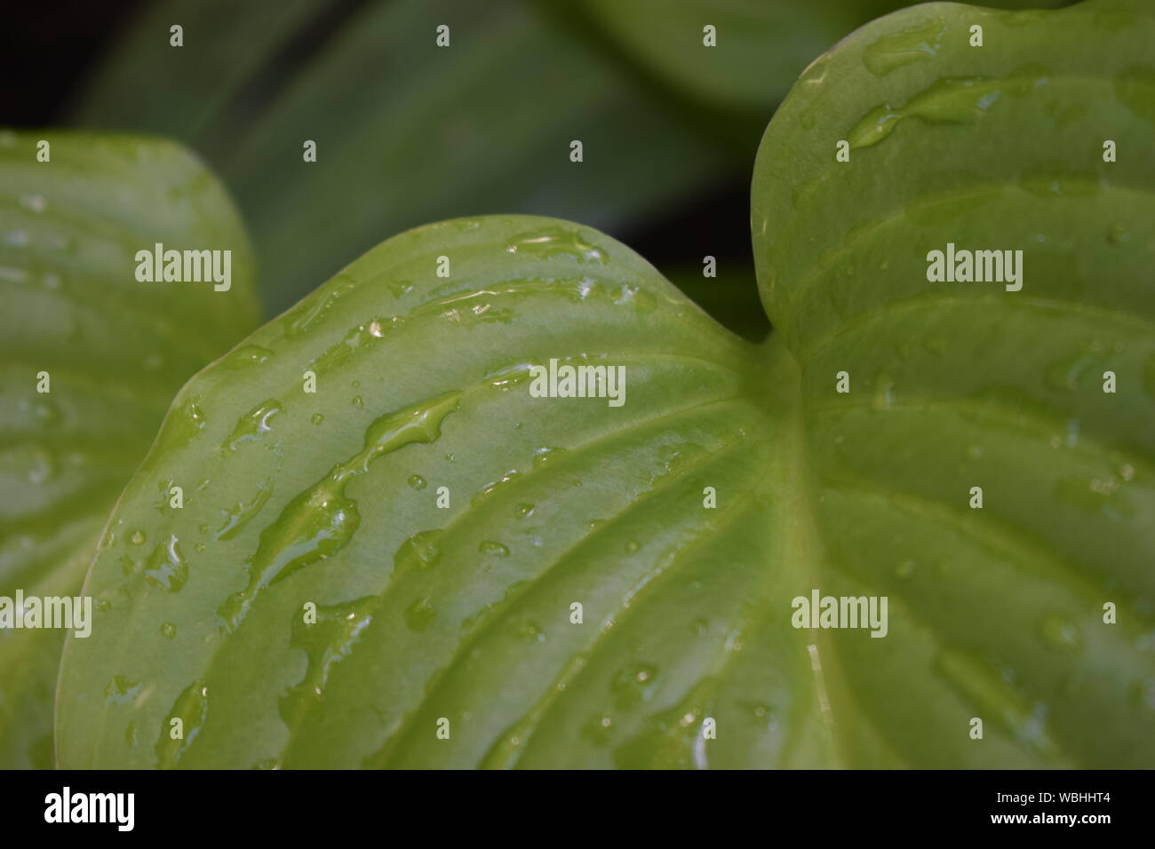 Beautiful tropical Hosta leaves with drops of water. Ornamental Hosta plant for landscaping park and garden design. Large lush green leaves with strea Stock Photo
