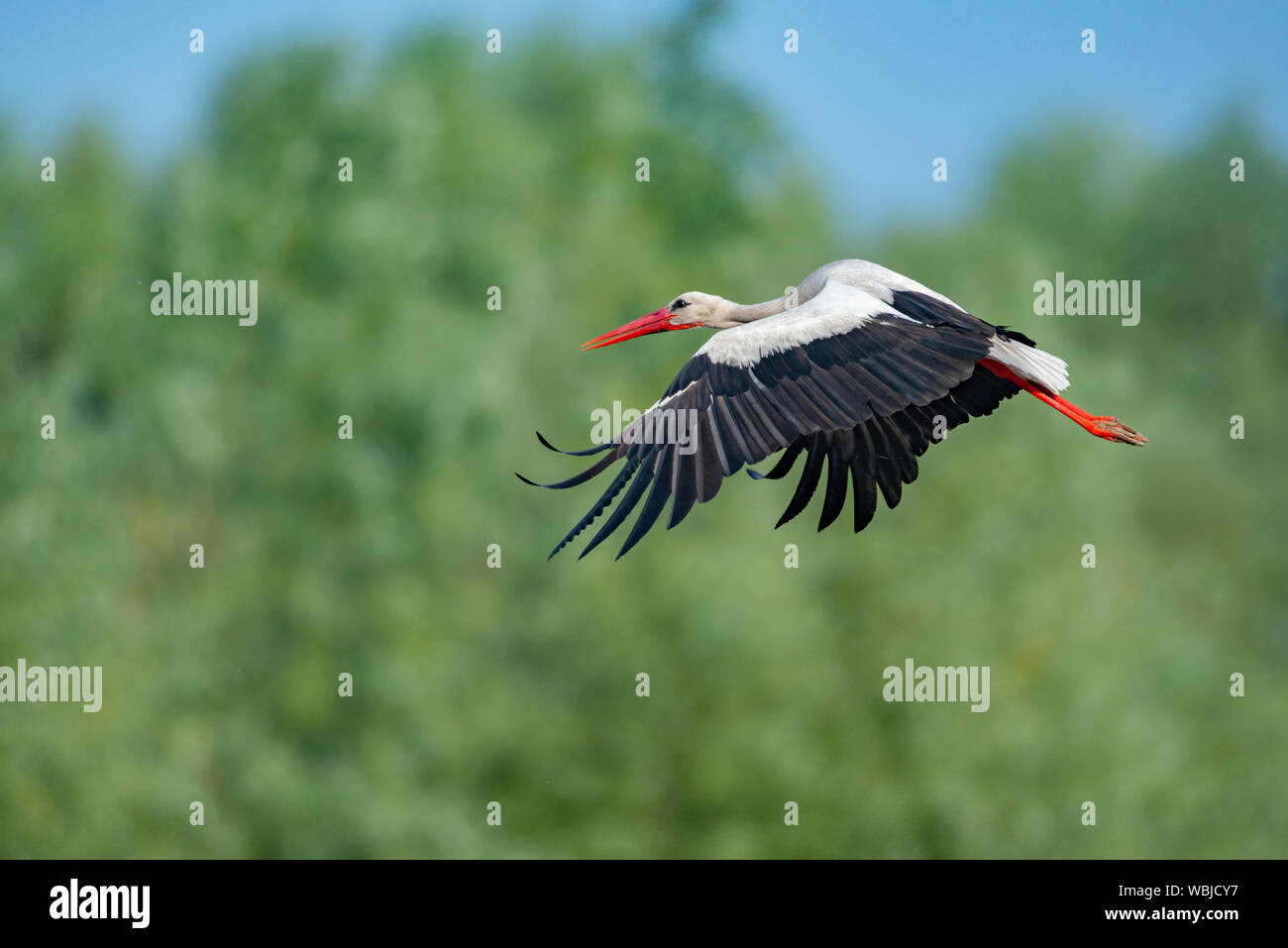 White stork flying in mid air, with blured background. Stock Photo