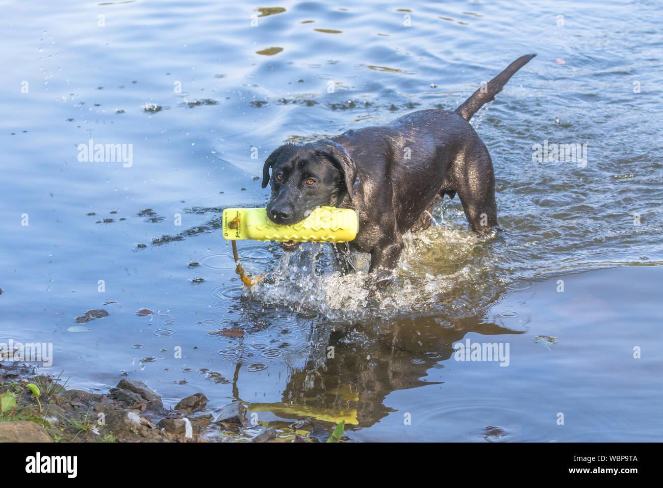 A black Labrador retriever coming out of a lake after retrieving a gundog dummy. Stock Photo