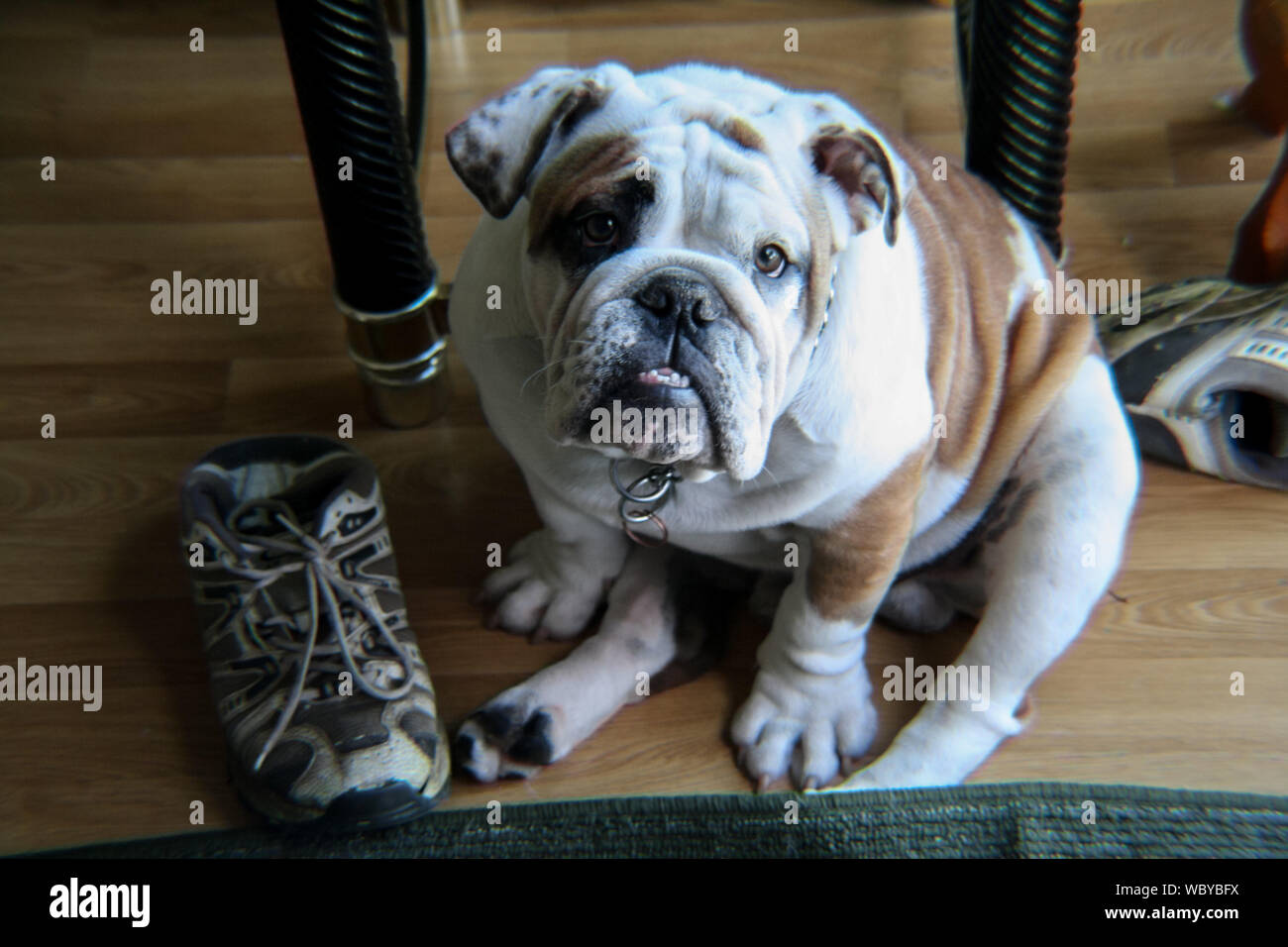 Portrait Of English Bulldog On Hardwood Floor At Home Stock Photo