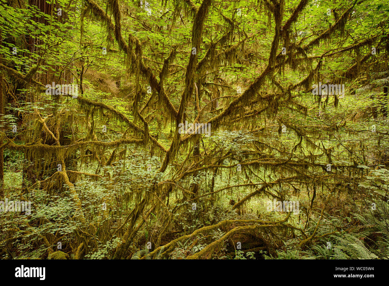 Moss on trees in Jedediah Smith Redwood State Park Stock Photo