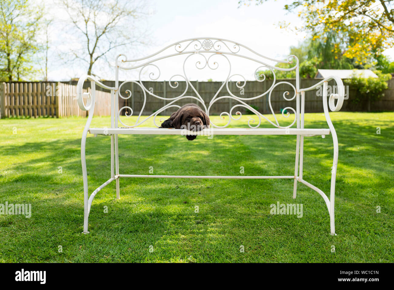 Swell Six Week Old Chocolate Labrador Puppy Lying On A Metal Ocoug Best Dining Table And Chair Ideas Images Ocougorg