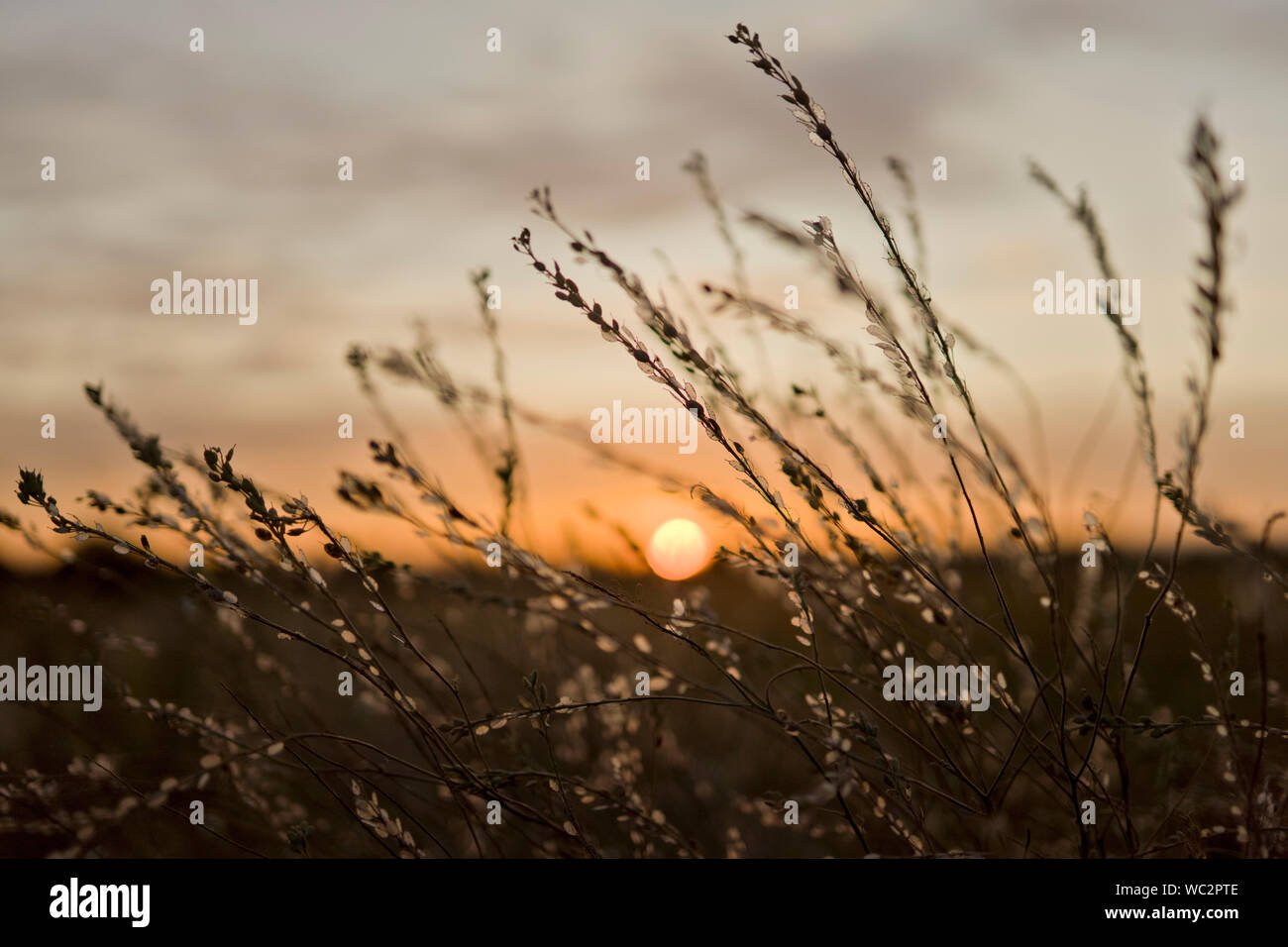 wild grass on meadow on summer sunset sky background, natural environment landscape Stock Photo