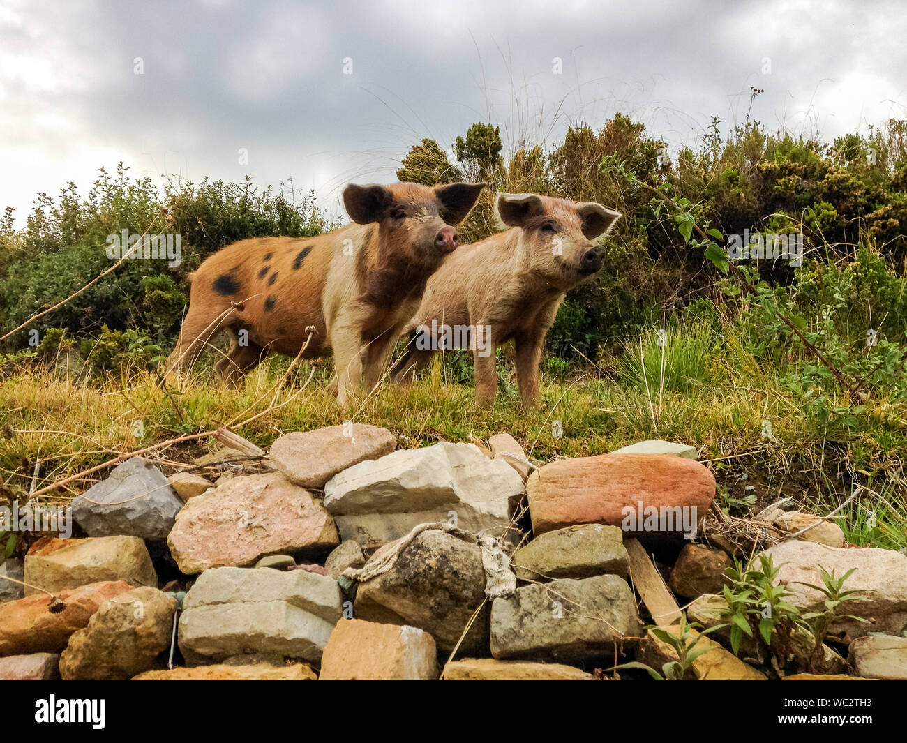 Riberalta Bolivia Two Small Pigs Looking At The Other Animals On The Farm Stock Photo Alamy